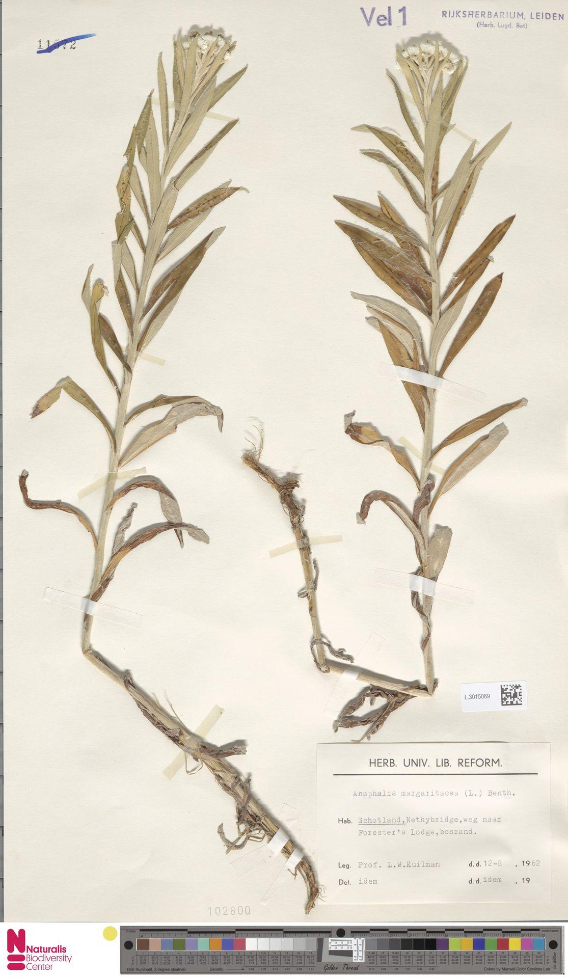 L.3015069 | Anaphalis margaritacea (L.) Benth. & Hook.f.