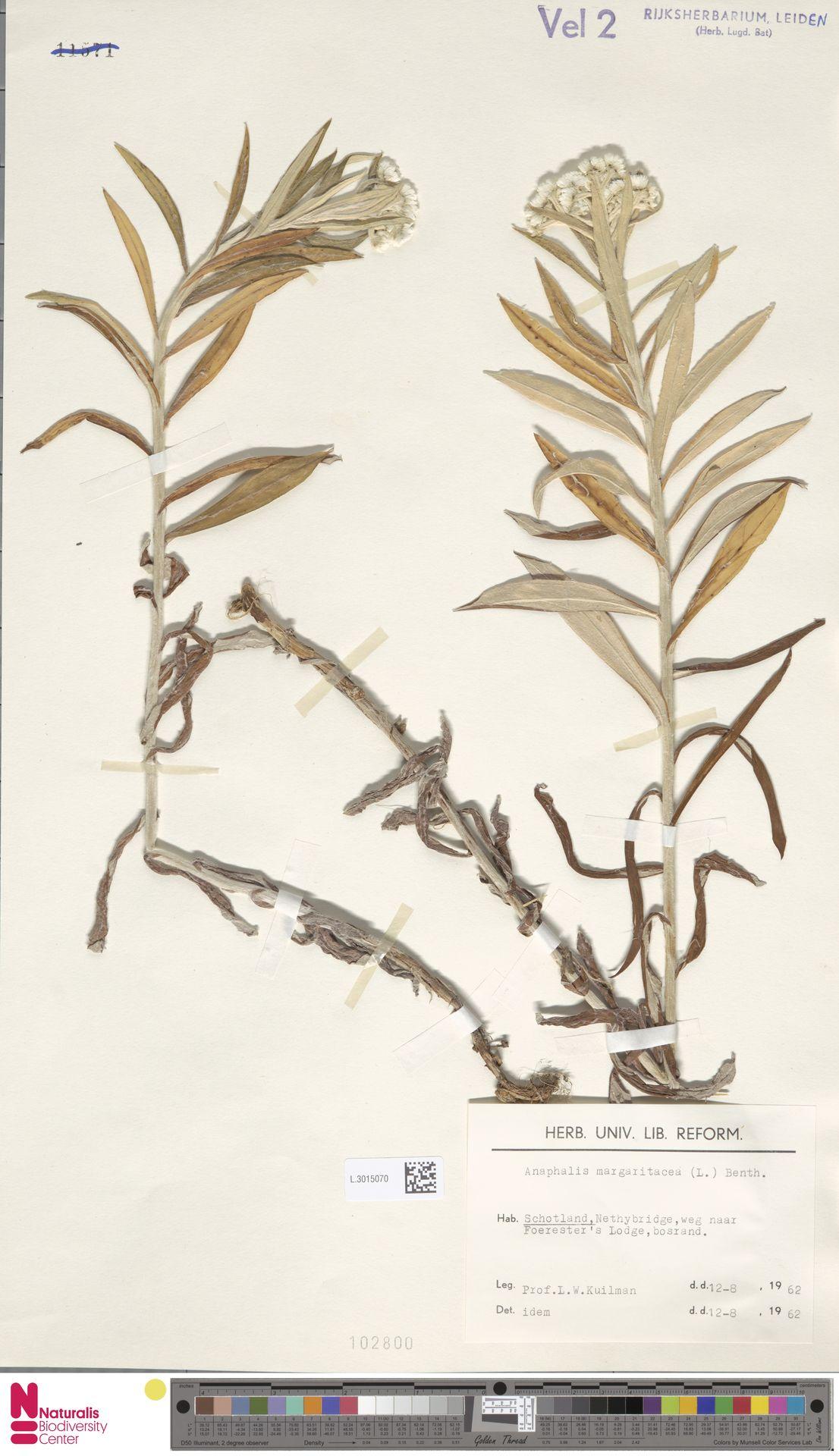 L.3015070 | Anaphalis margaritacea (L.) Benth. & Hook.f.