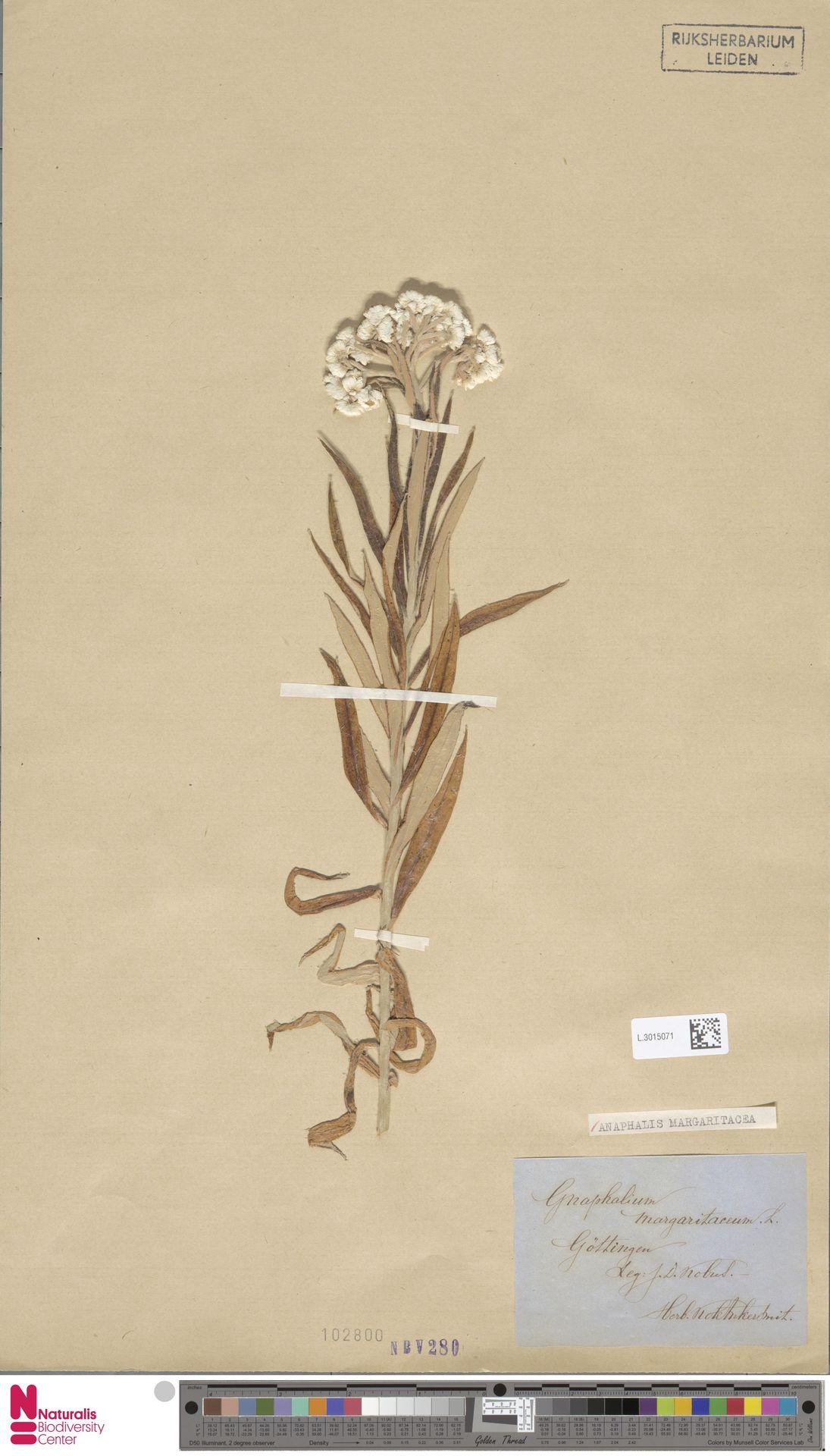 L.3015071 | Anaphalis margaritacea (L.) Benth. & Hook.f.