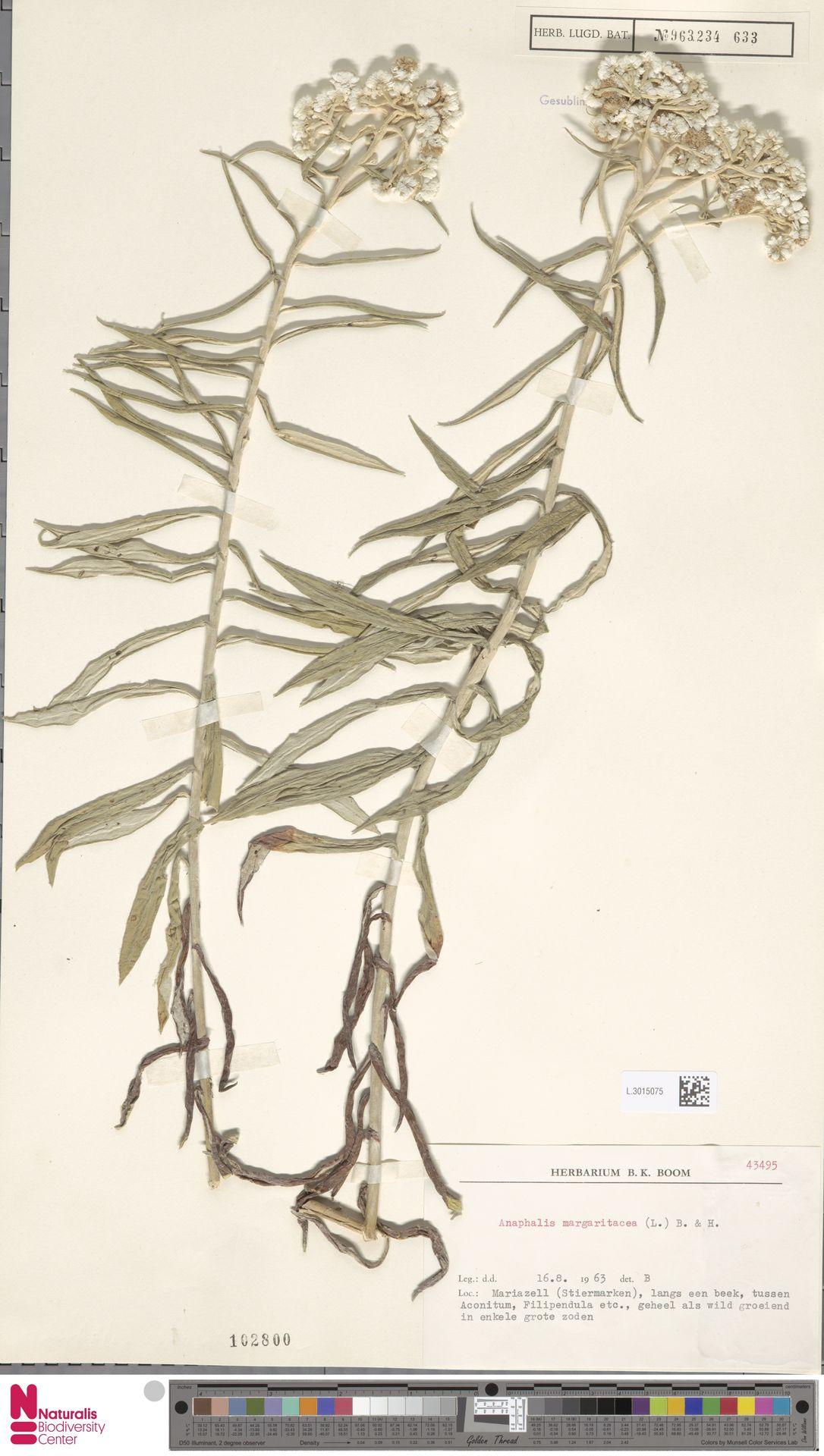 L.3015075 | Anaphalis margaritacea (L.) Benth. & Hook.f.