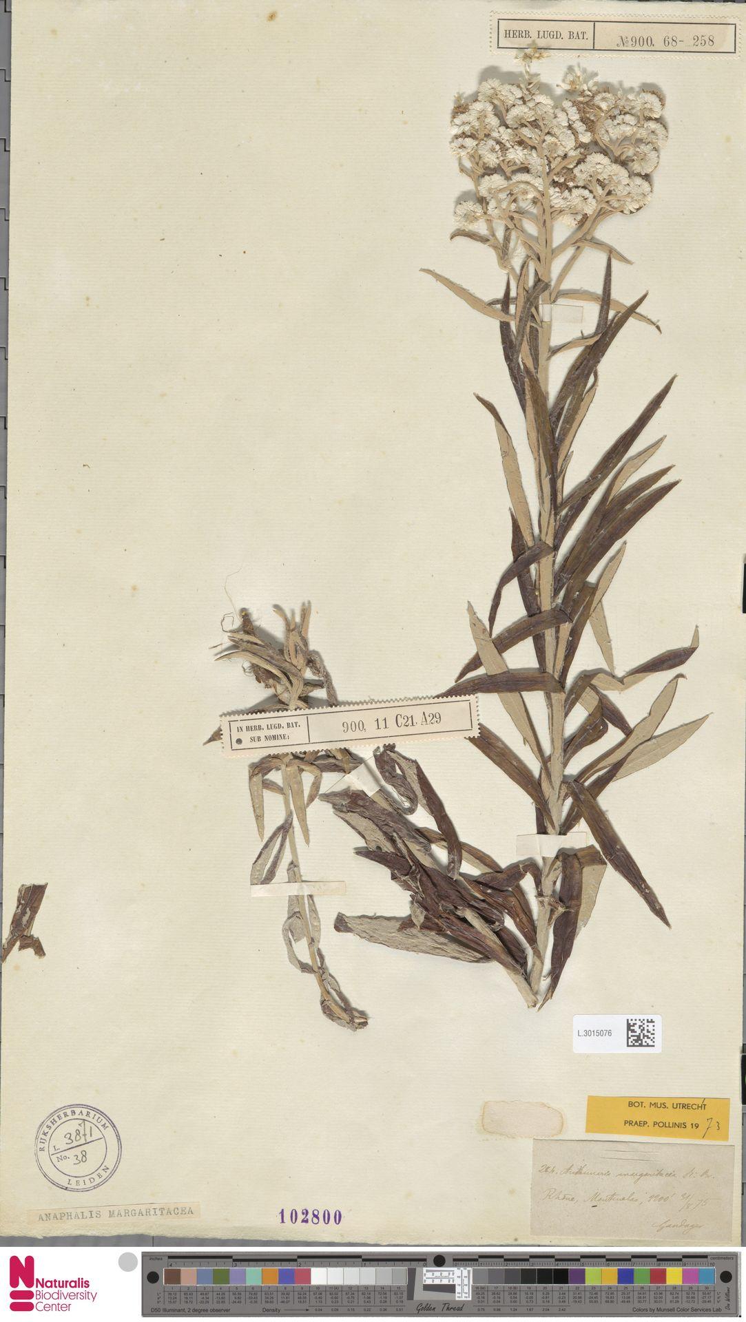 L.3015076 | Anaphalis margaritacea (L.) Benth. & Hook.f.