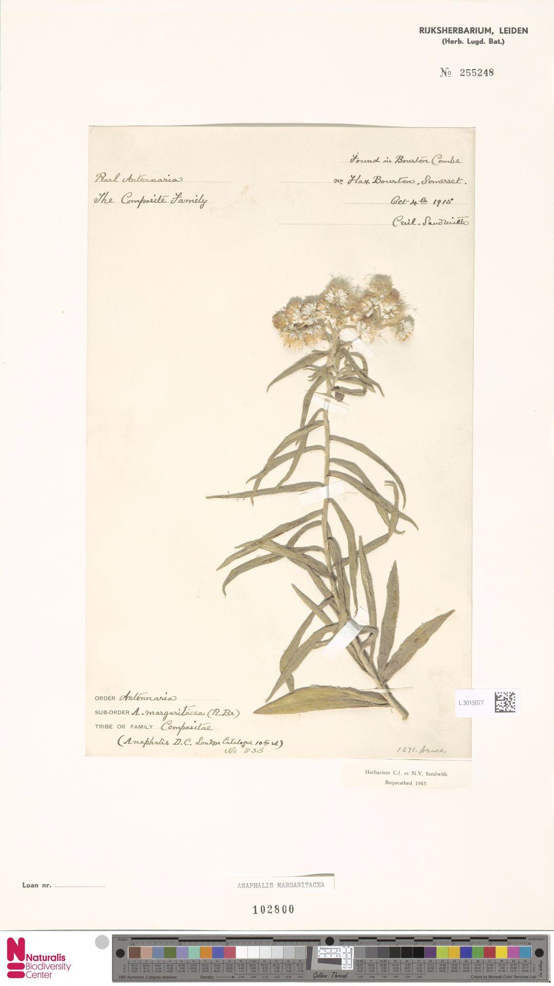 L.3015077 | Anaphalis margaritacea (L.) Benth. & Hook.f.