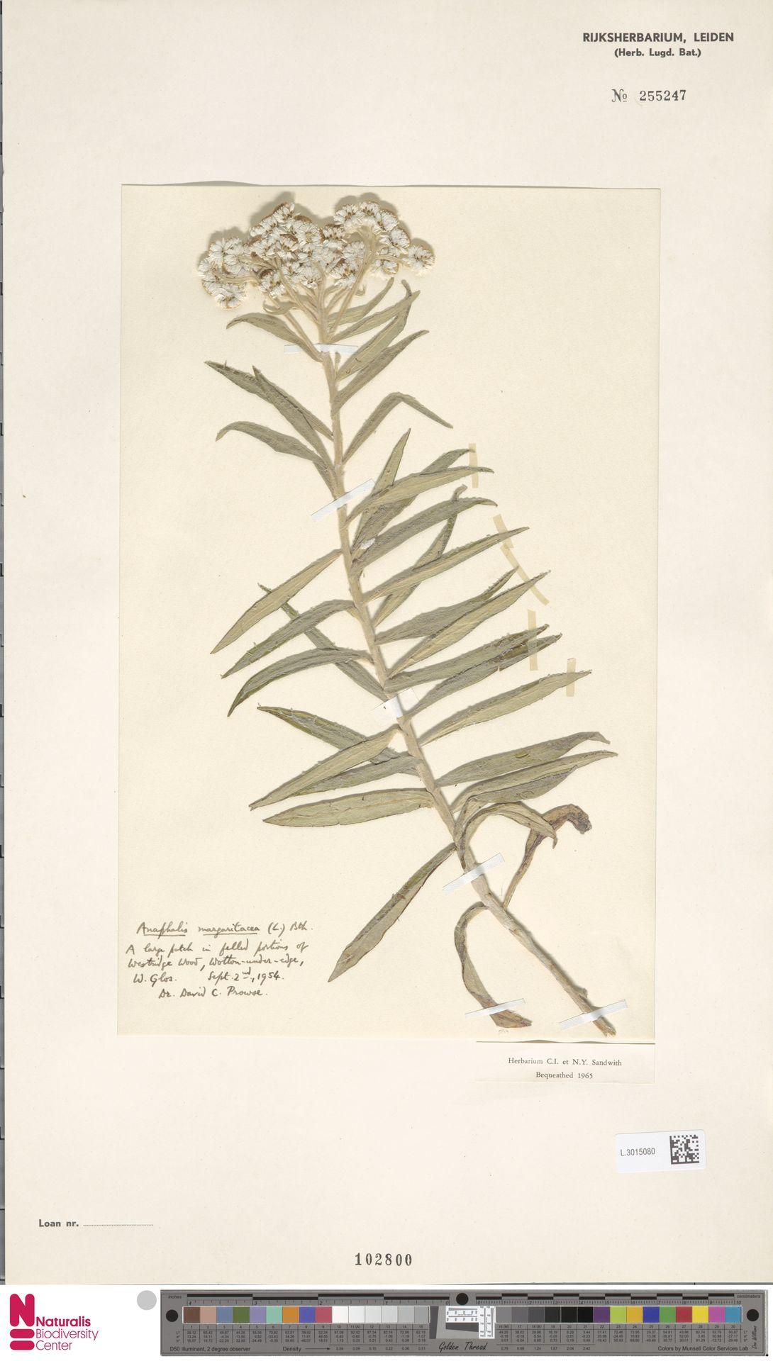 L.3015080   Anaphalis margaritacea (L.) Benth. & Hook.f.