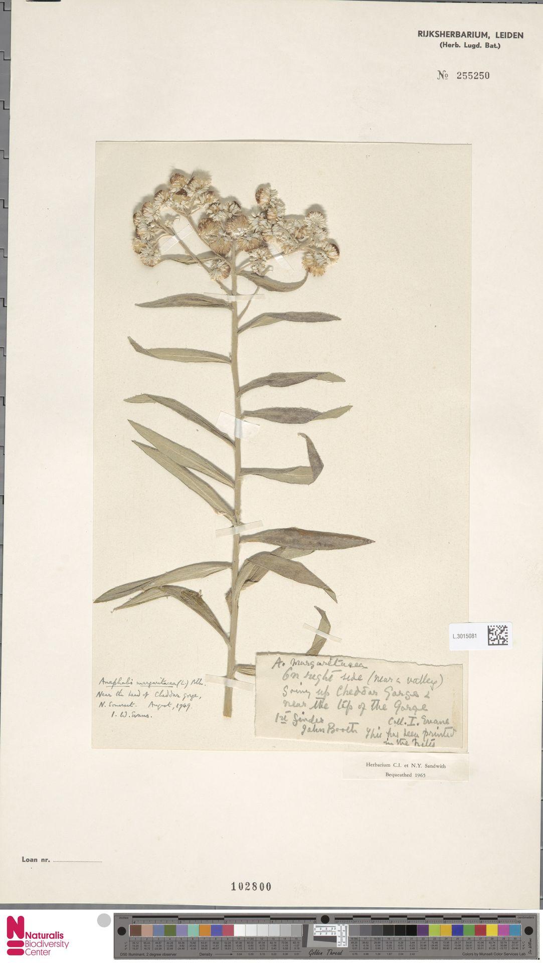 L.3015081 | Anaphalis margaritacea (L.) Benth. & Hook.f.