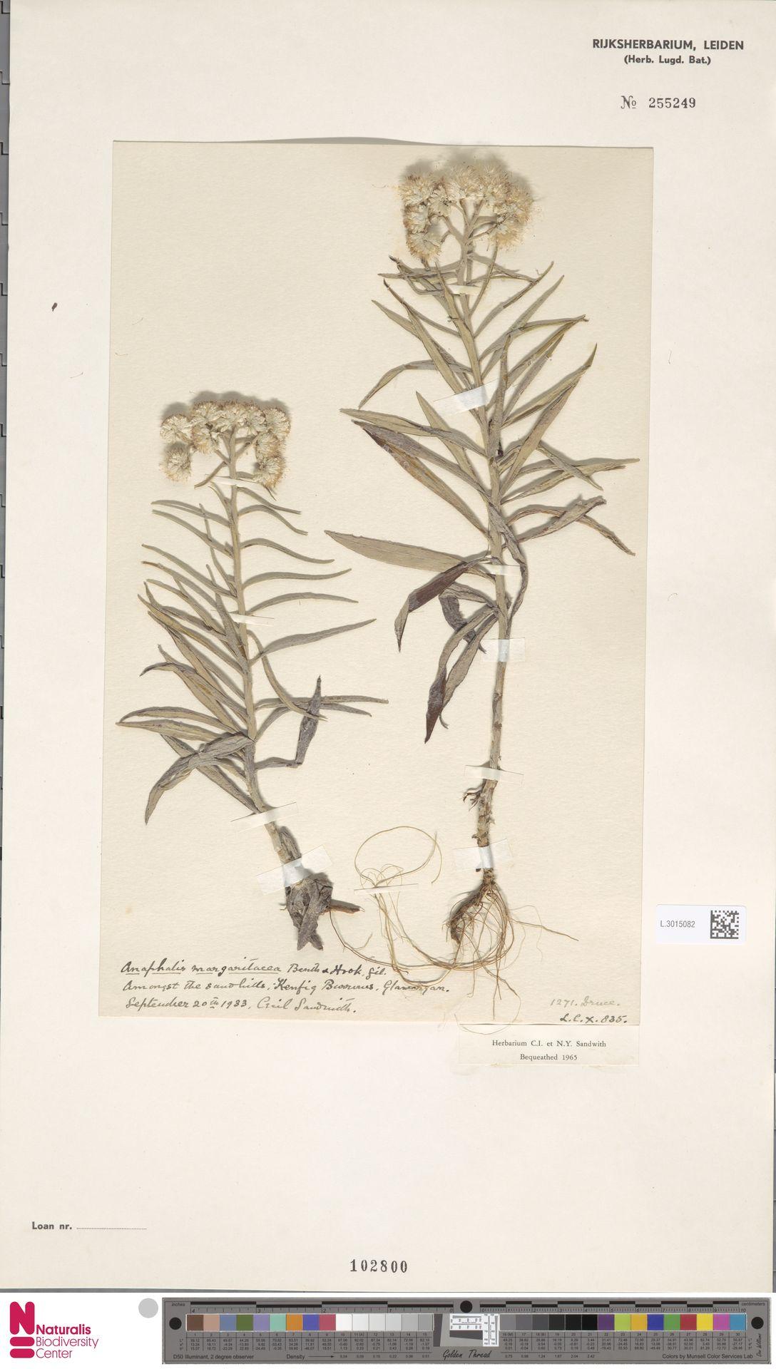 L.3015082 | Anaphalis margaritacea (L.) Benth. & Hook.f.