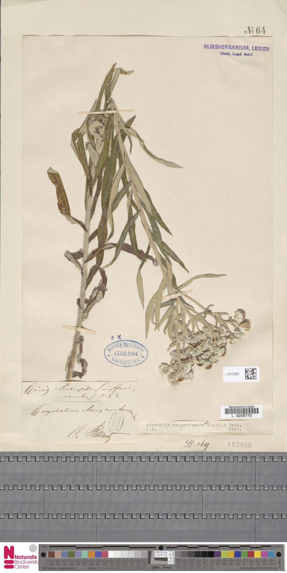 L.3015083   Anaphalis margaritacea (L.) Benth. & Hook.f.