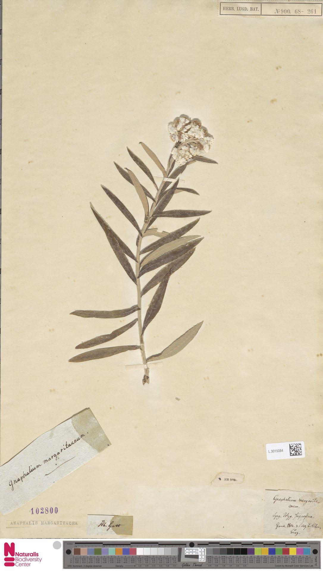 L.3015084 | Anaphalis margaritacea (L.) Benth. & Hook.f.