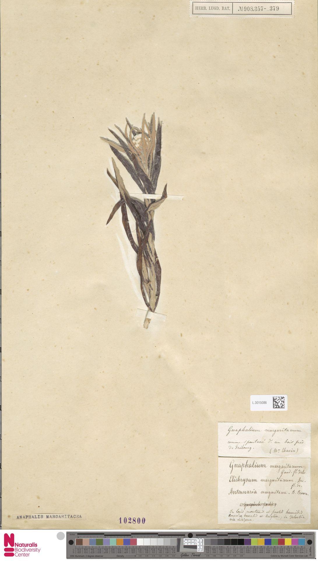 L.3015086 | Anaphalis margaritacea (L.) Benth. & Hook.f.
