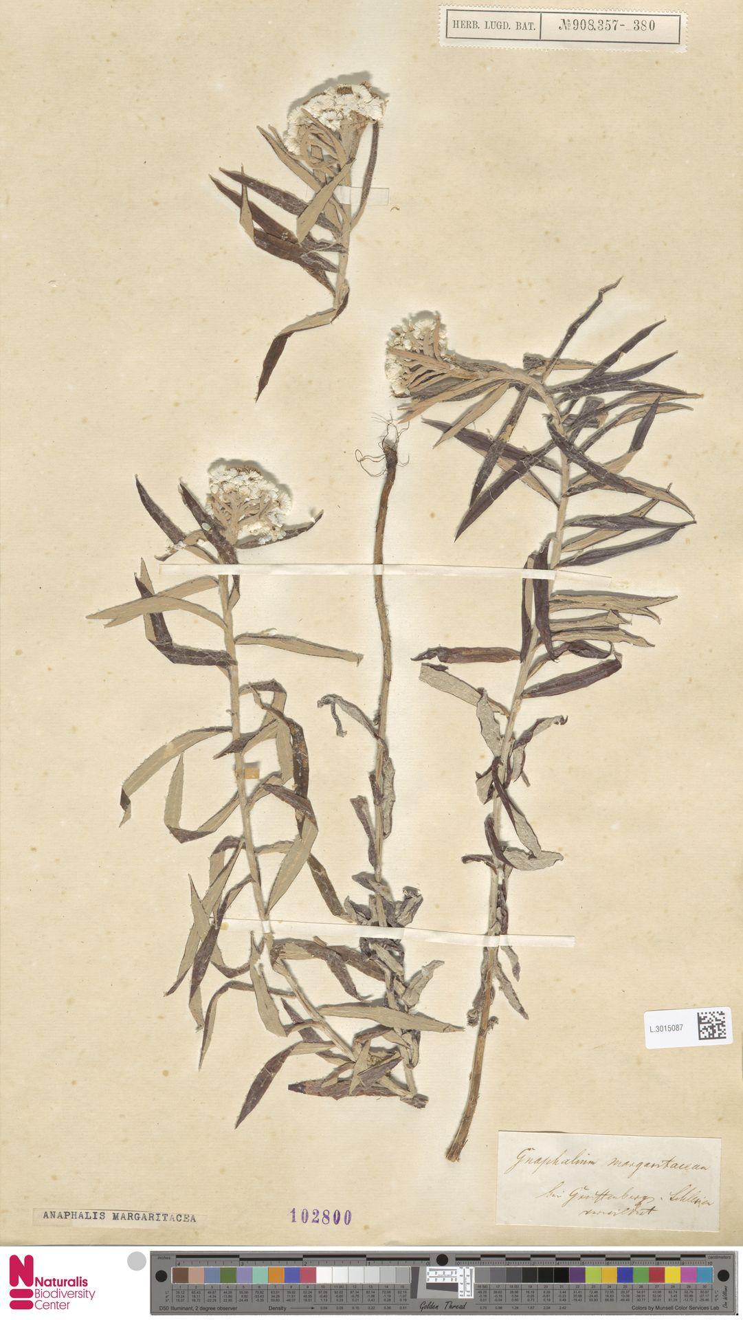 L.3015087 | Anaphalis margaritacea (L.) Benth. & Hook.f.