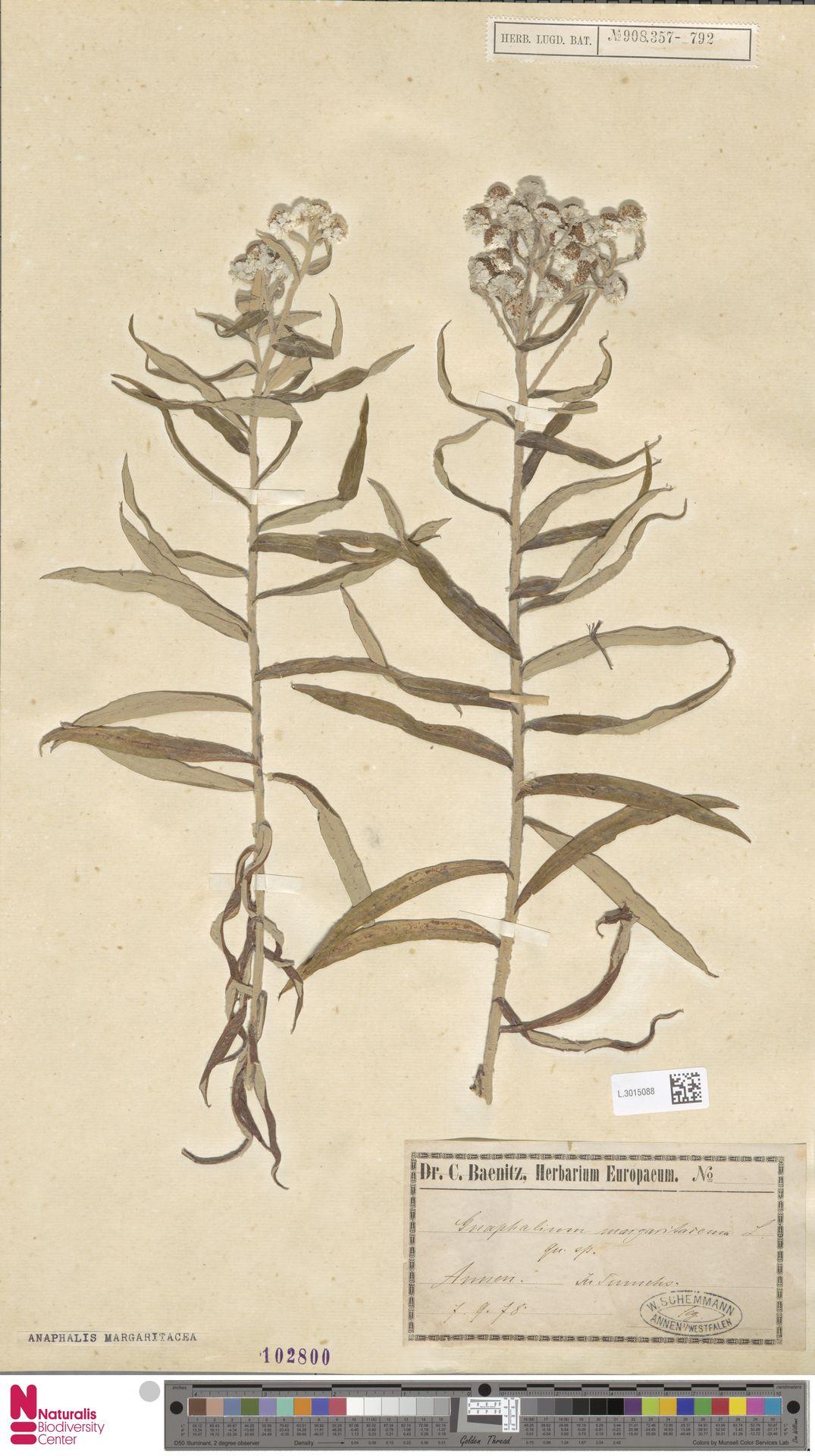 L.3015088 | Anaphalis margaritacea (L.) Benth. & Hook.f.