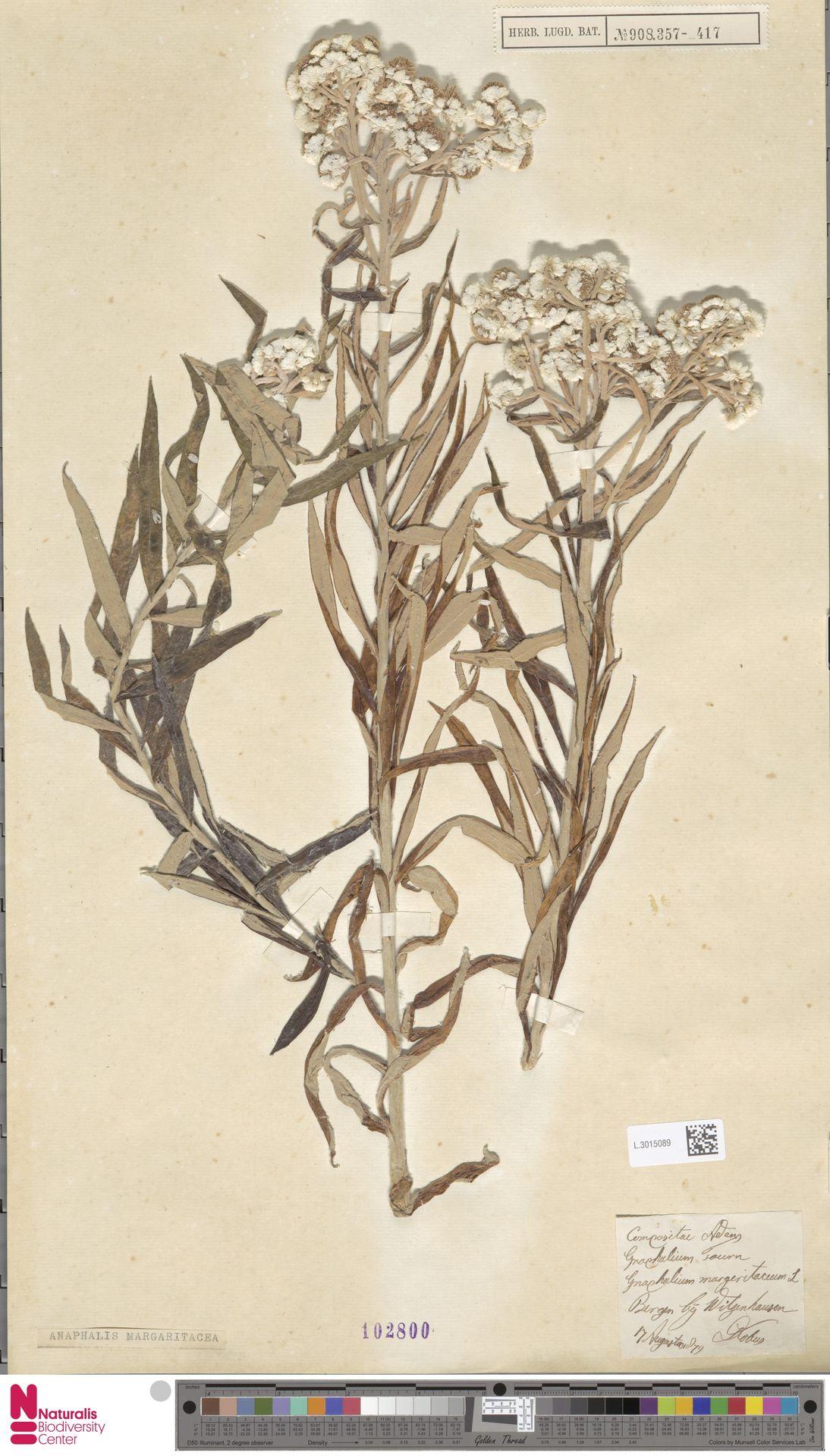 L.3015089 | Anaphalis margaritacea (L.) Benth. & Hook.f.