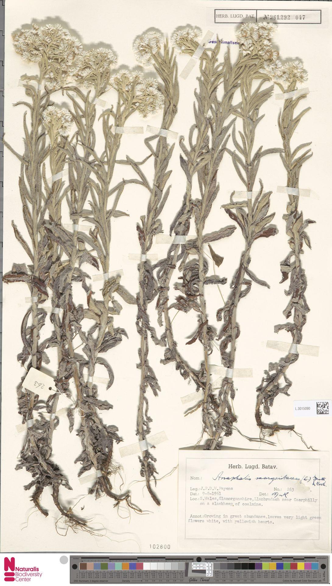 L.3015090 | Anaphalis margaritacea (L.) Benth. & Hook.f.
