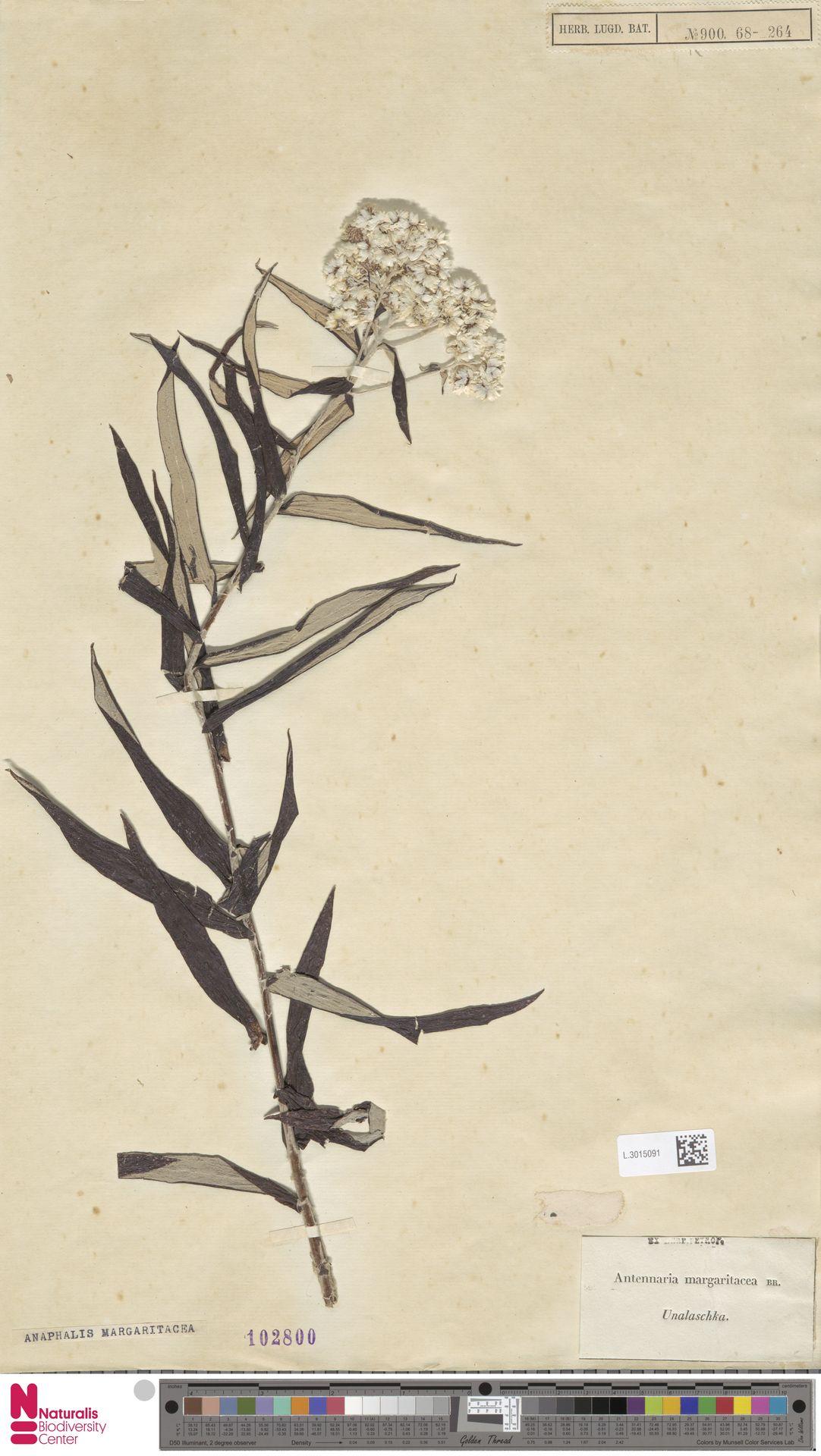 L.3015091 | Anaphalis margaritacea (L.) Benth. & Hook.f.