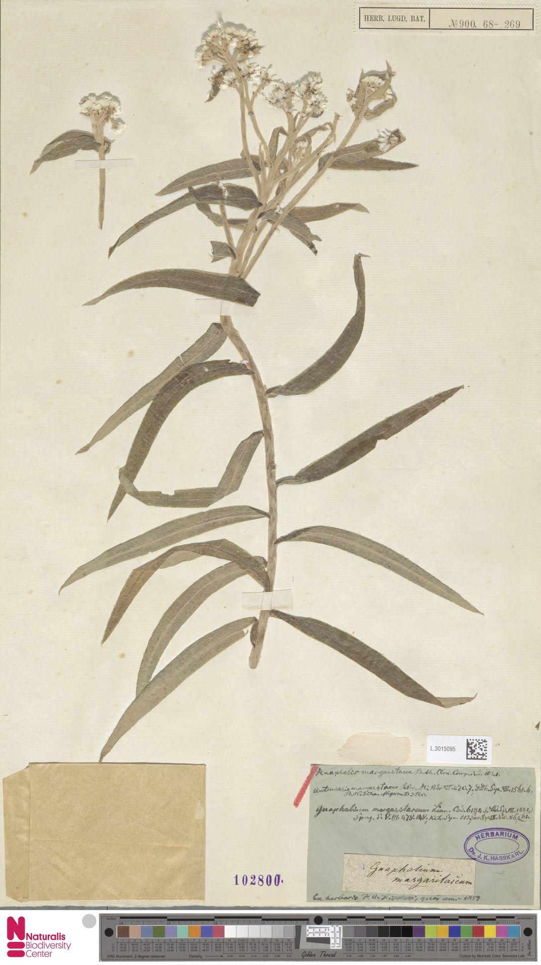 L.3015095 | Anaphalis margaritacea (L.) Benth. & Hook.f.