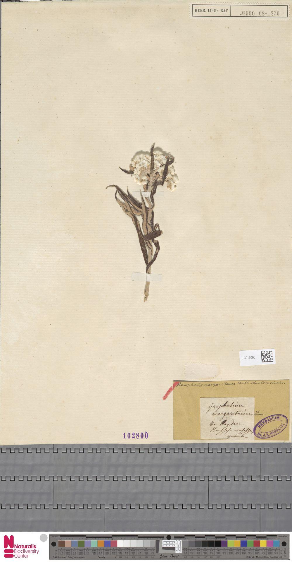 L.3015096 | Anaphalis margaritacea (L.) Benth. & Hook.f.