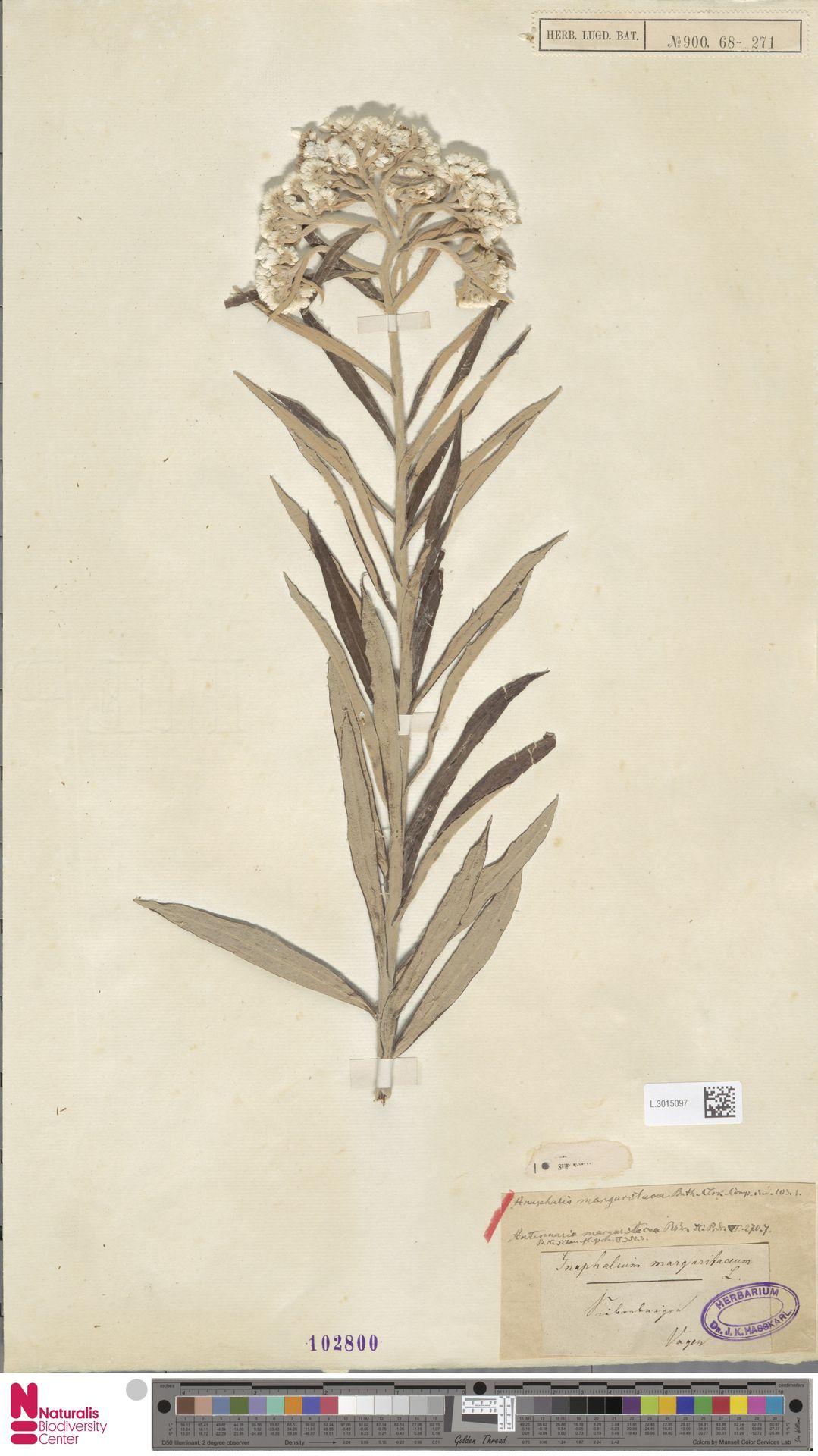 L.3015097 | Anaphalis margaritacea (L.) Benth. & Hook.f.
