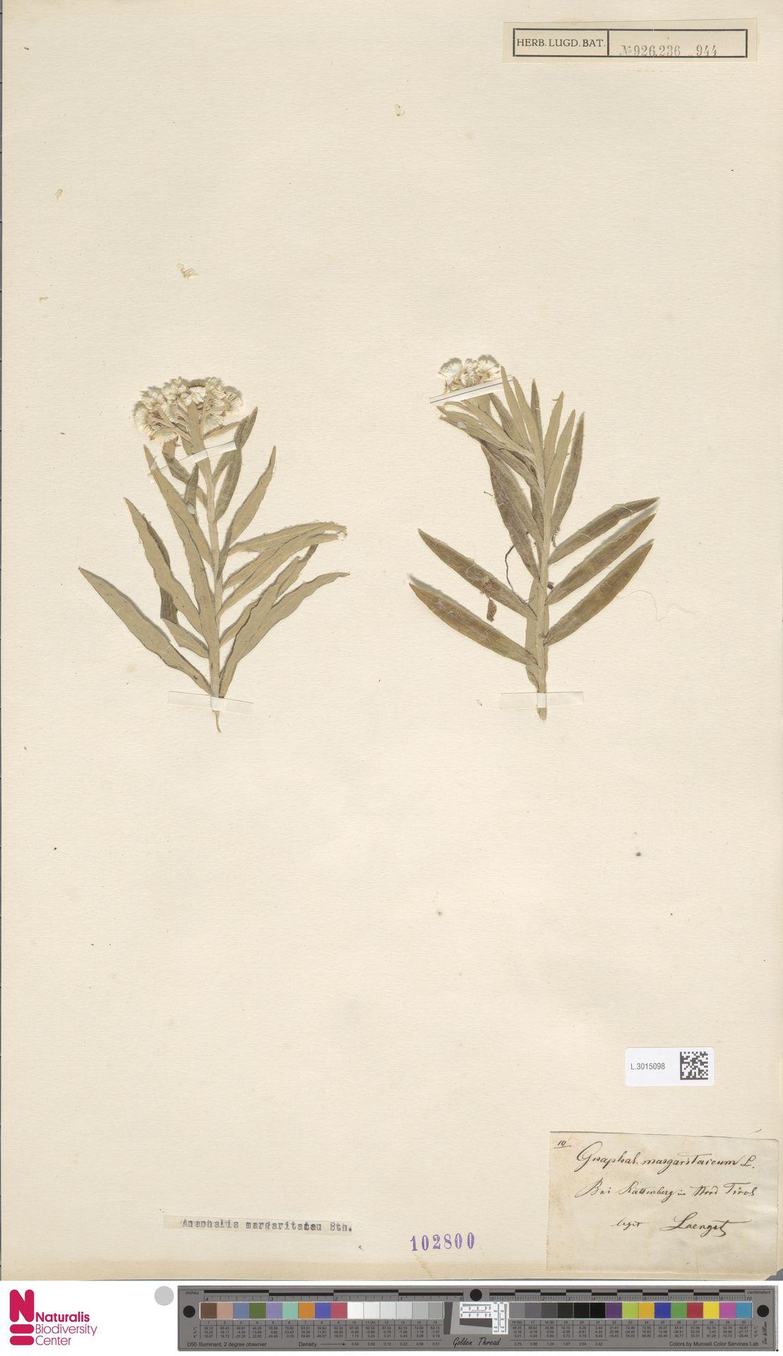 L.3015098 | Anaphalis margaritacea (L.) Benth. & Hook.f.