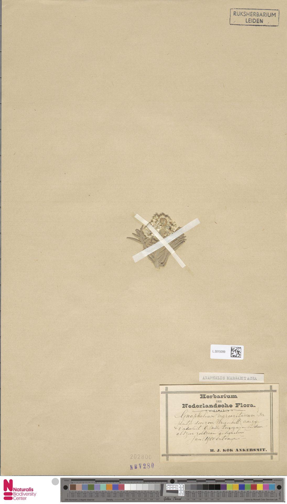 L.3015099 | Anaphalis margaritacea (L.) Benth. & Hook.f.