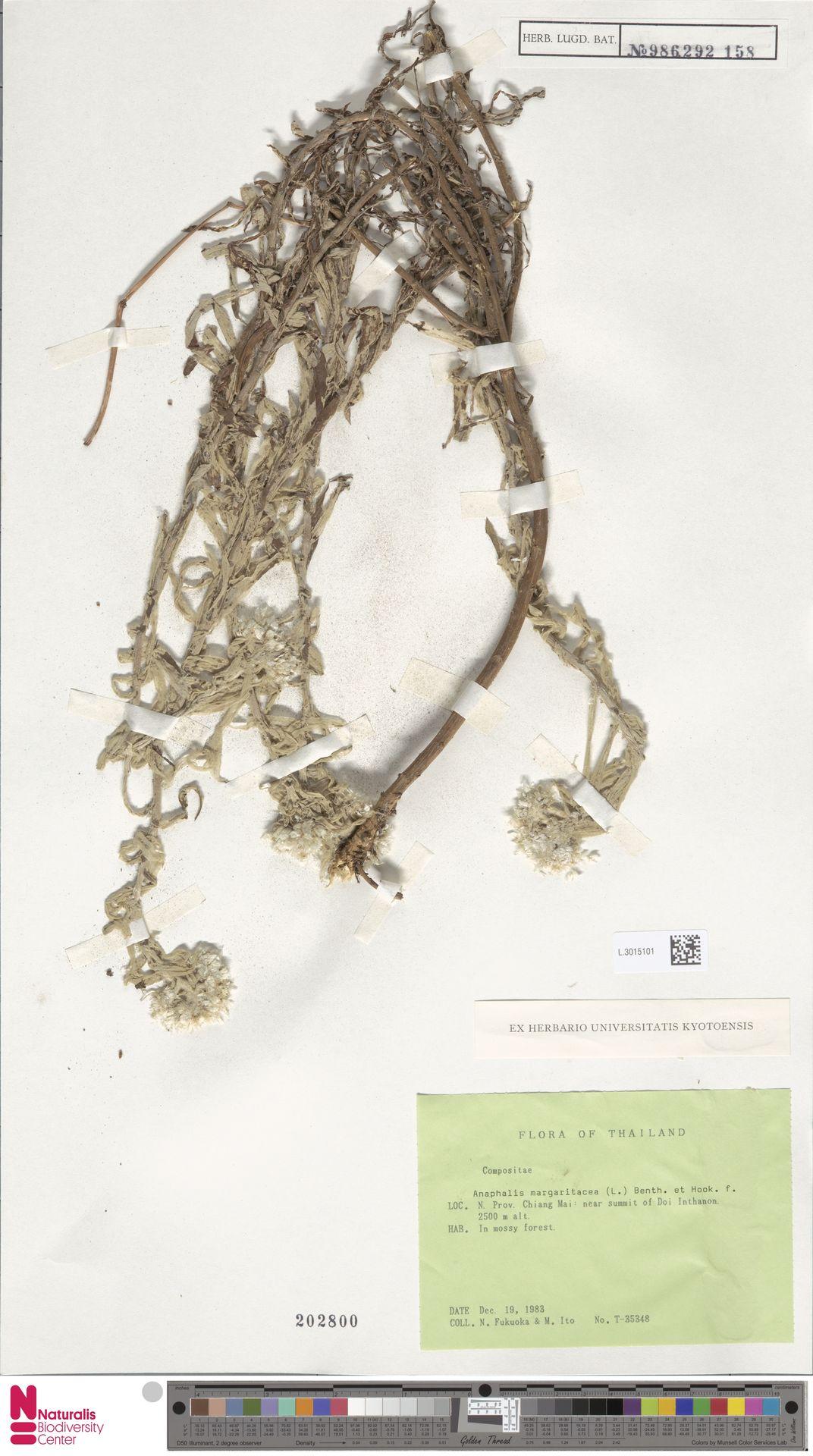 L.3015101   Anaphalis margaritacea (L.) Benth. & Hook.f.
