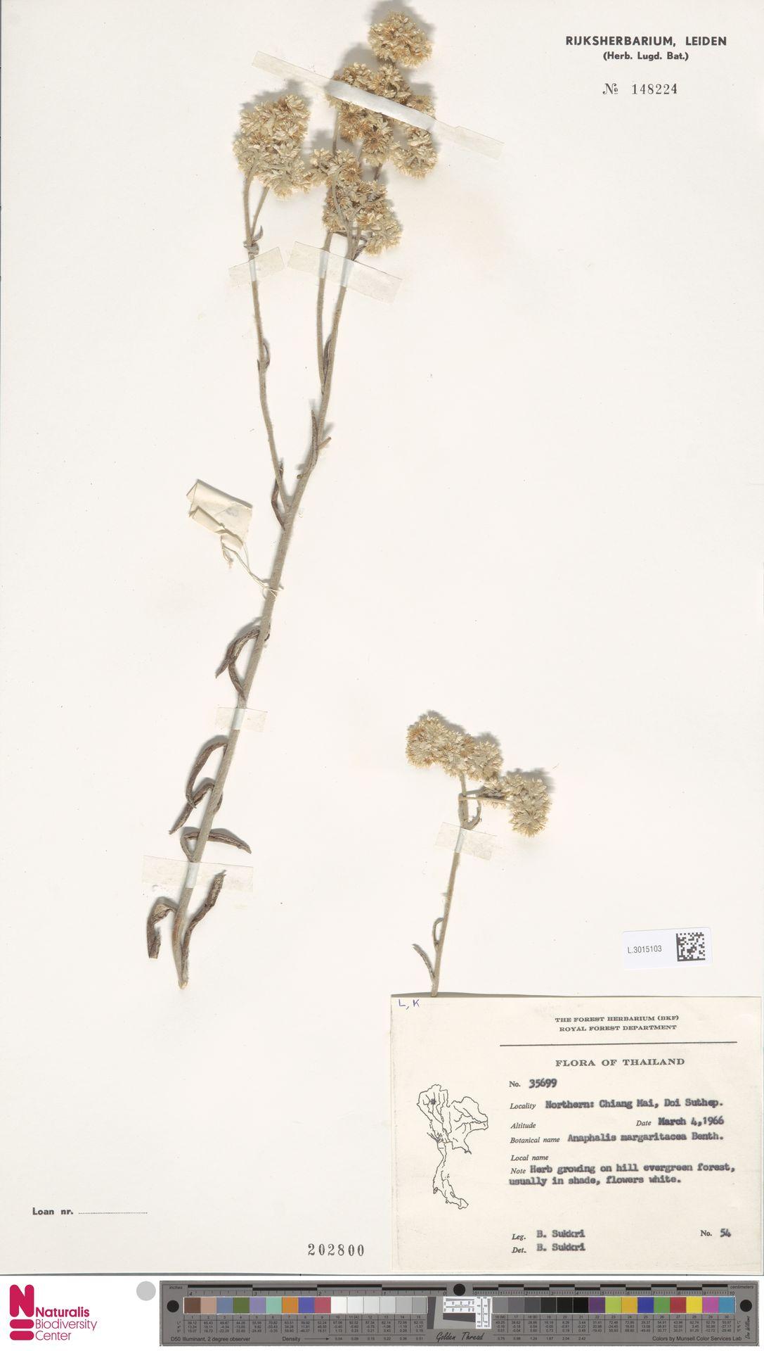 L.3015103 | Anaphalis margaritacea (L.) Benth. & Hook.f.