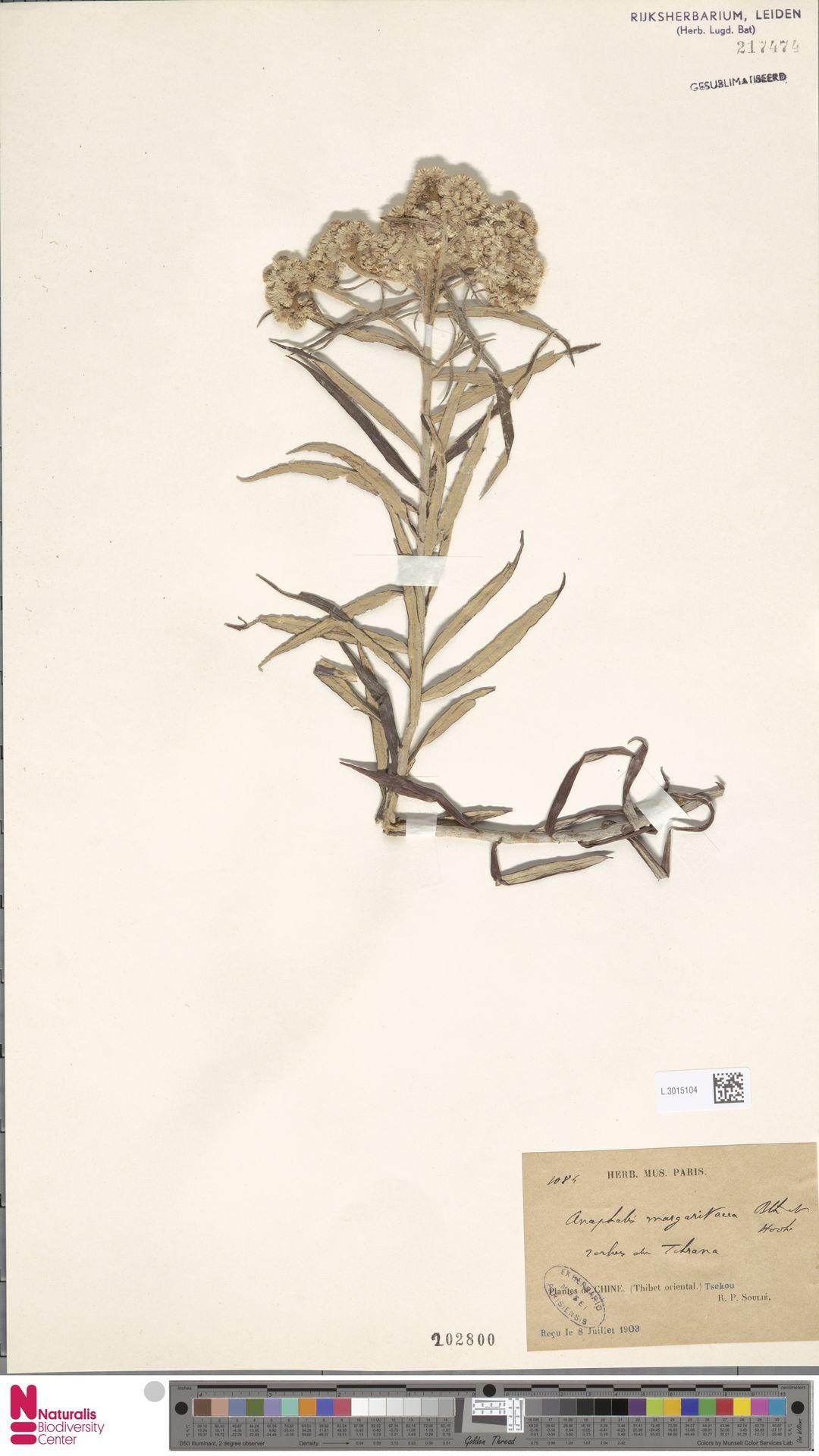L.3015104   Anaphalis margaritacea (L.) Benth. & Hook.f.