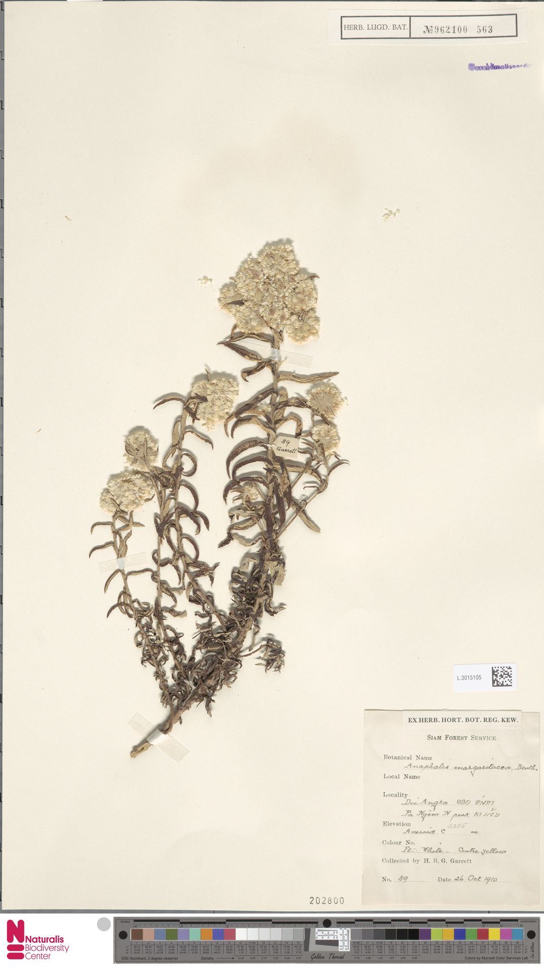L.3015105 | Anaphalis margaritacea (L.) Benth. & Hook.f.