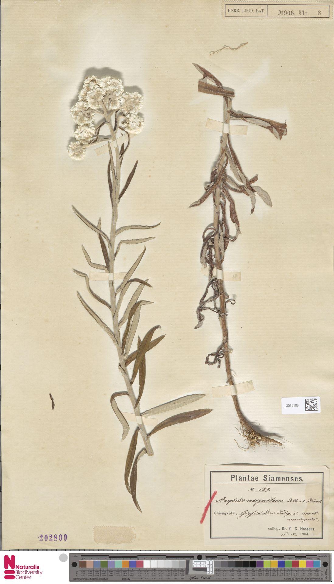 L.3015106 | Anaphalis margaritacea (L.) Benth. & Hook.f.