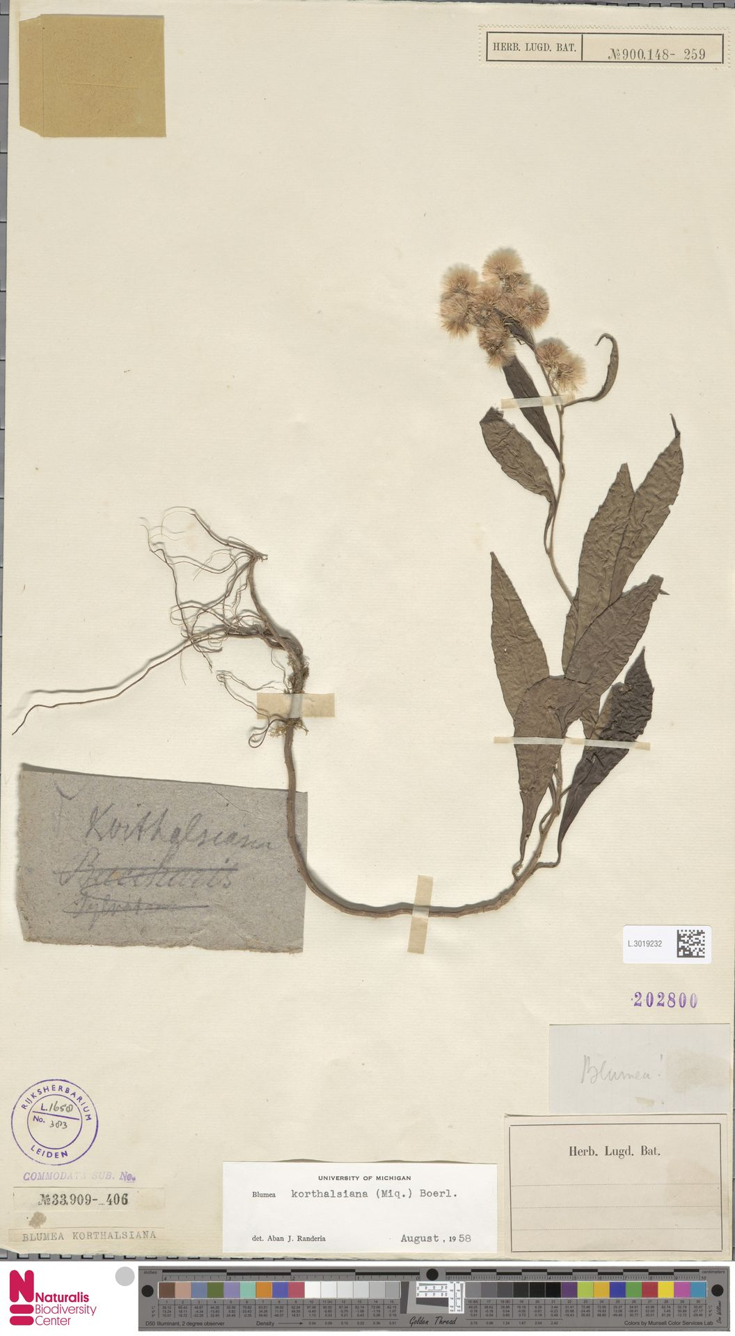 L.3019232 | Blumea korthalsiana (Miq.) Boerl.