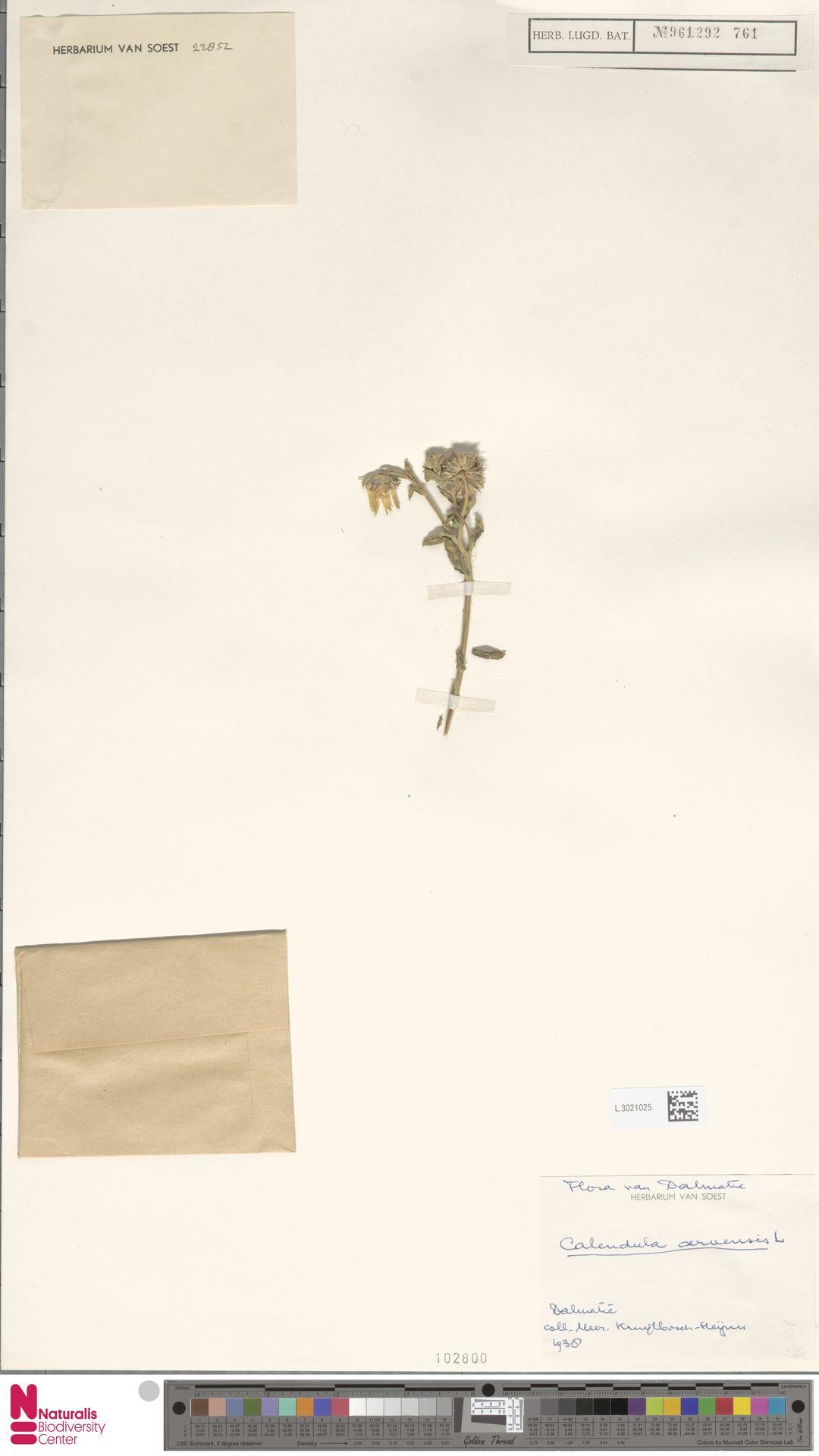 L.3021025 | Calendula arvensis (Vaill.) L.