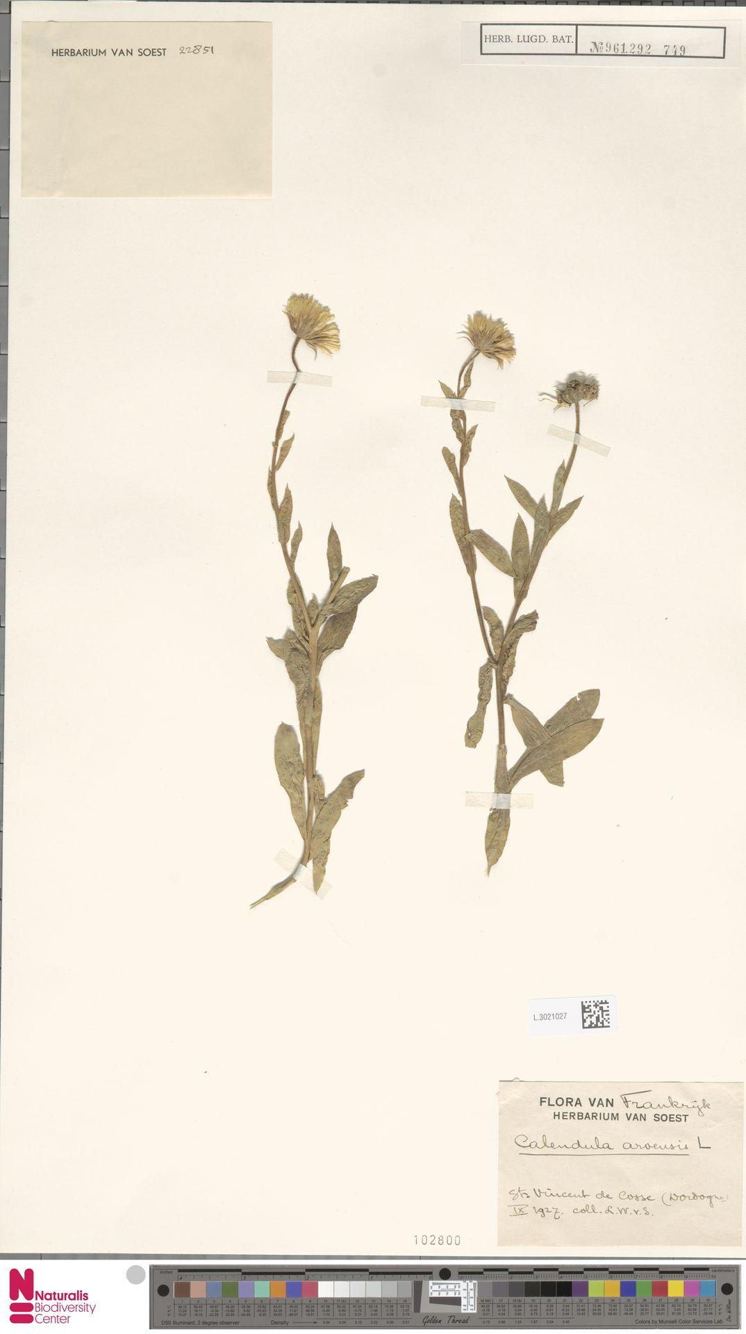 L.3021027 | Calendula arvensis (Vaill.) L.