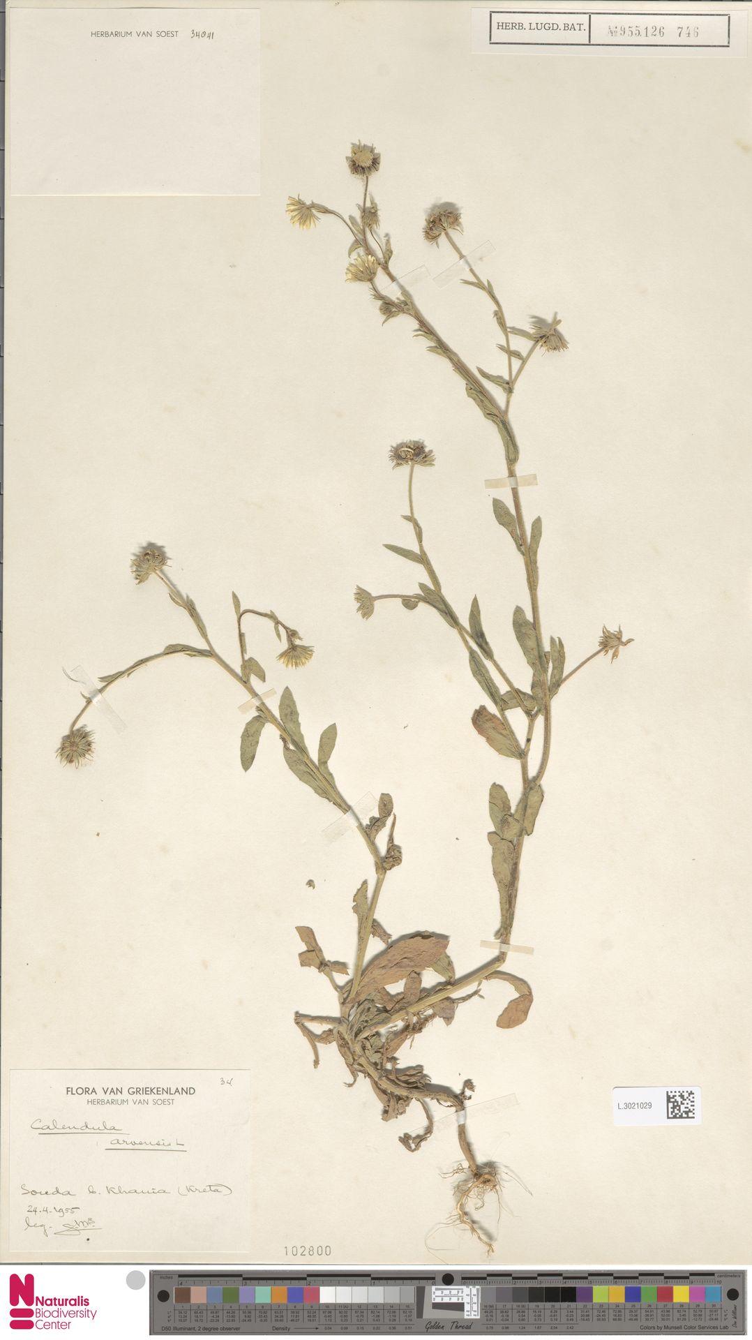 L.3021029 | Calendula arvensis (Vaill.) L.