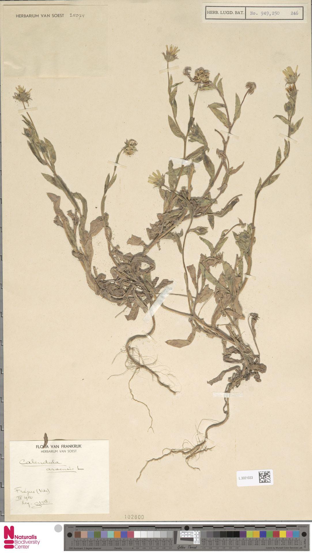 L.3021033 | Calendula arvensis (Vaill.) L.