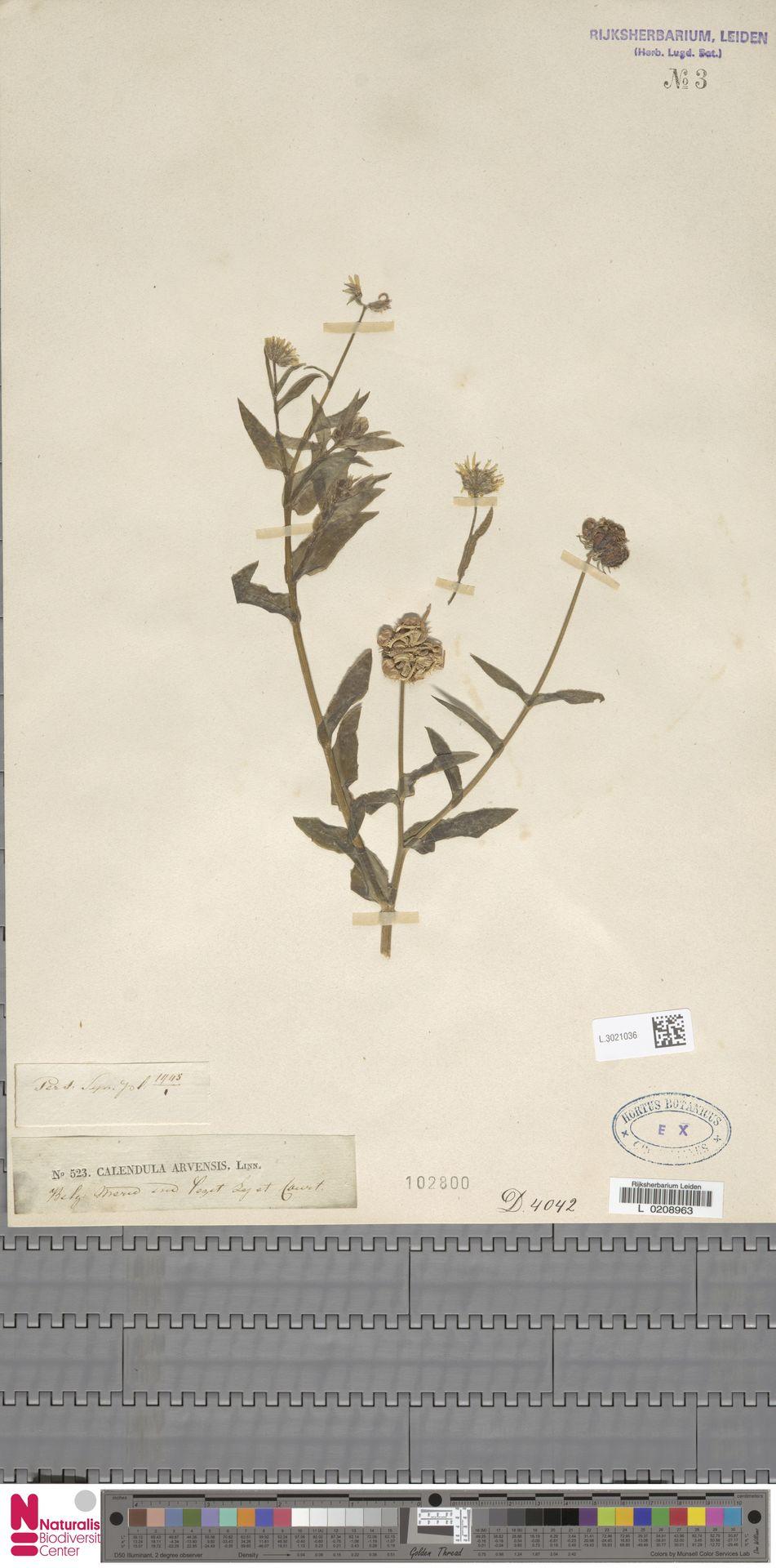 L.3021036 | Calendula arvensis (Vaill.) L.