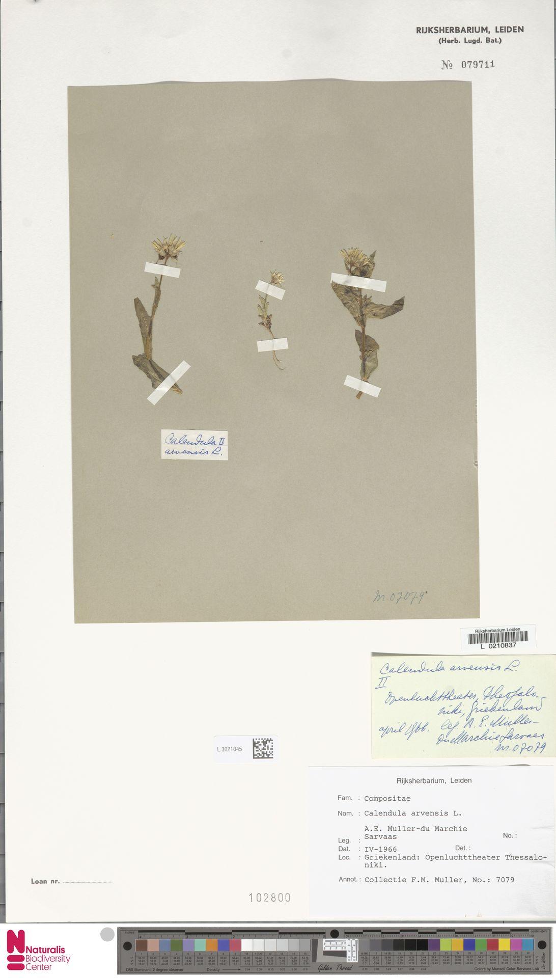 L.3021045   Calendula arvensis (Vaill.) L.