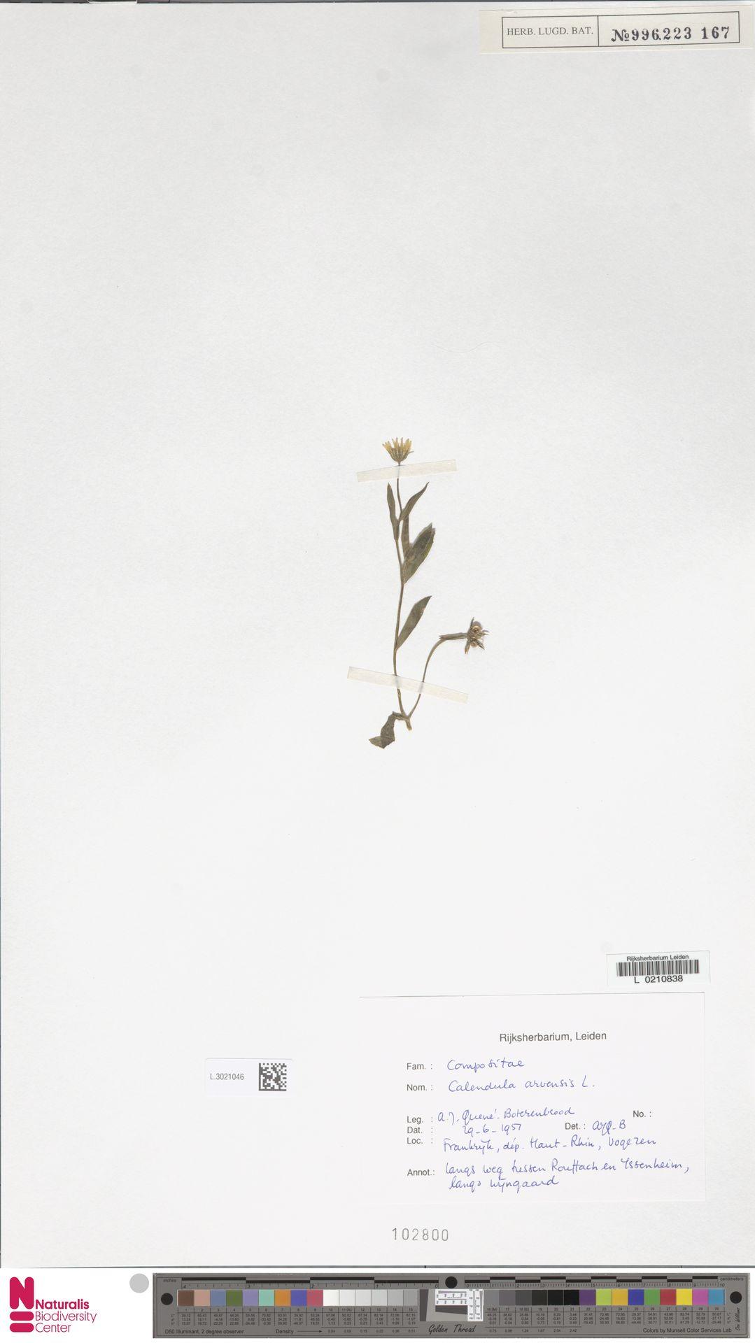 L.3021046 | Calendula arvensis (Vaill.) L.