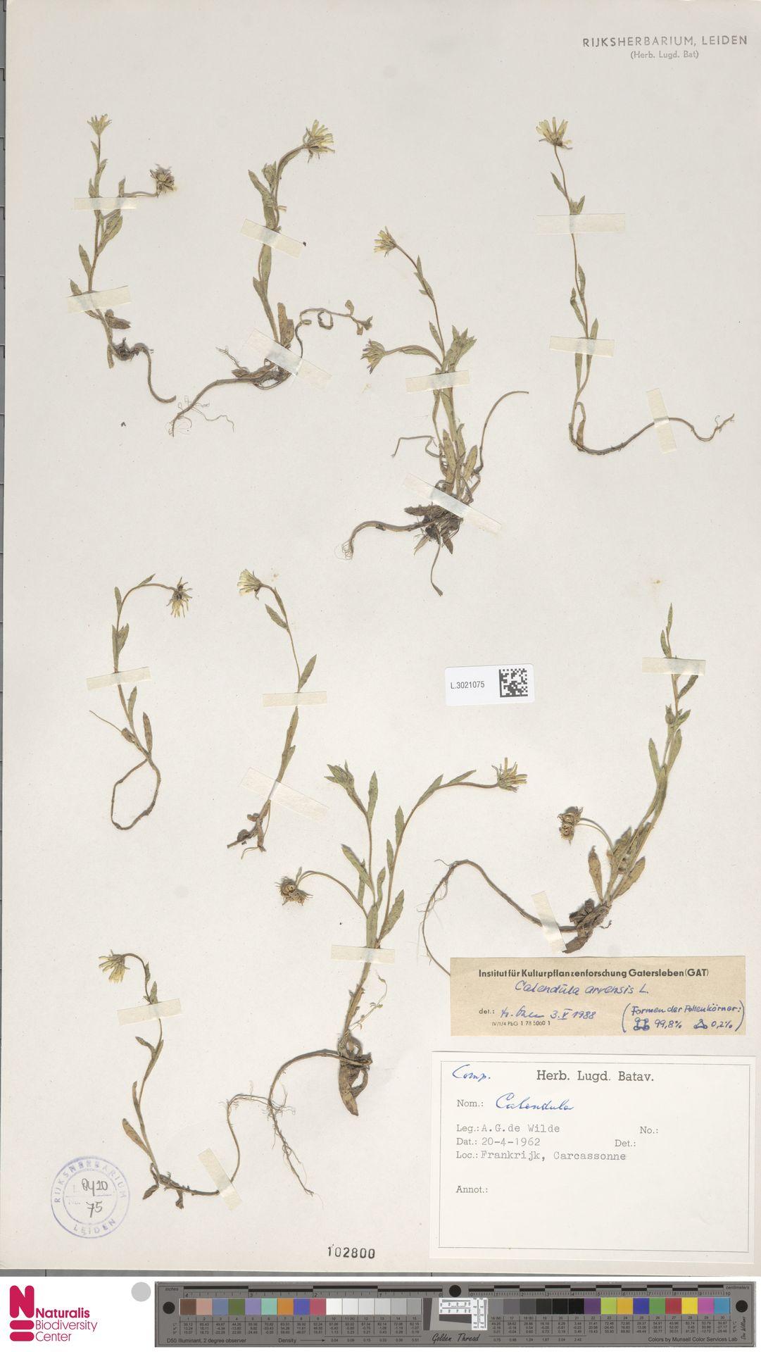L.3021075   Calendula arvensis (Vaill.) L.