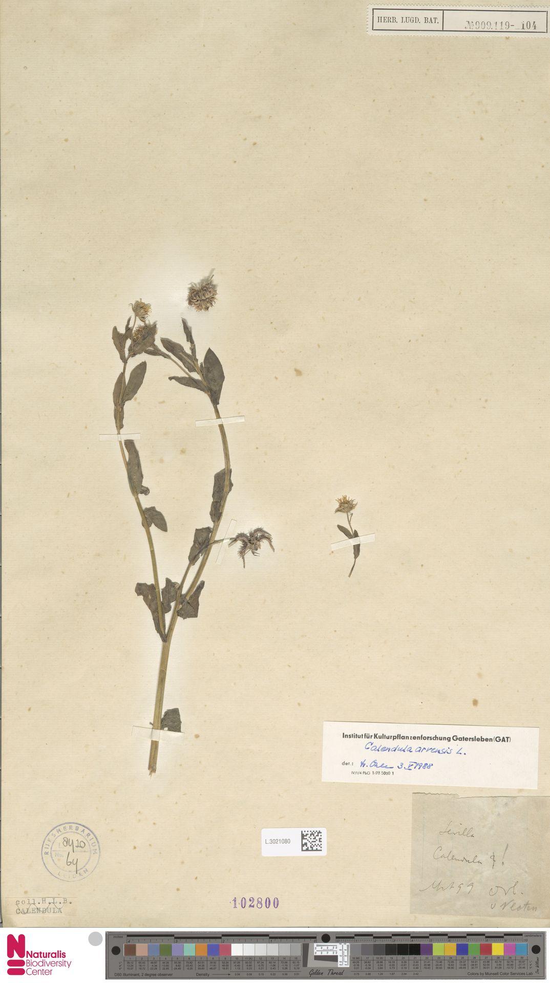 L.3021080   Calendula arvensis (Vaill.) L.