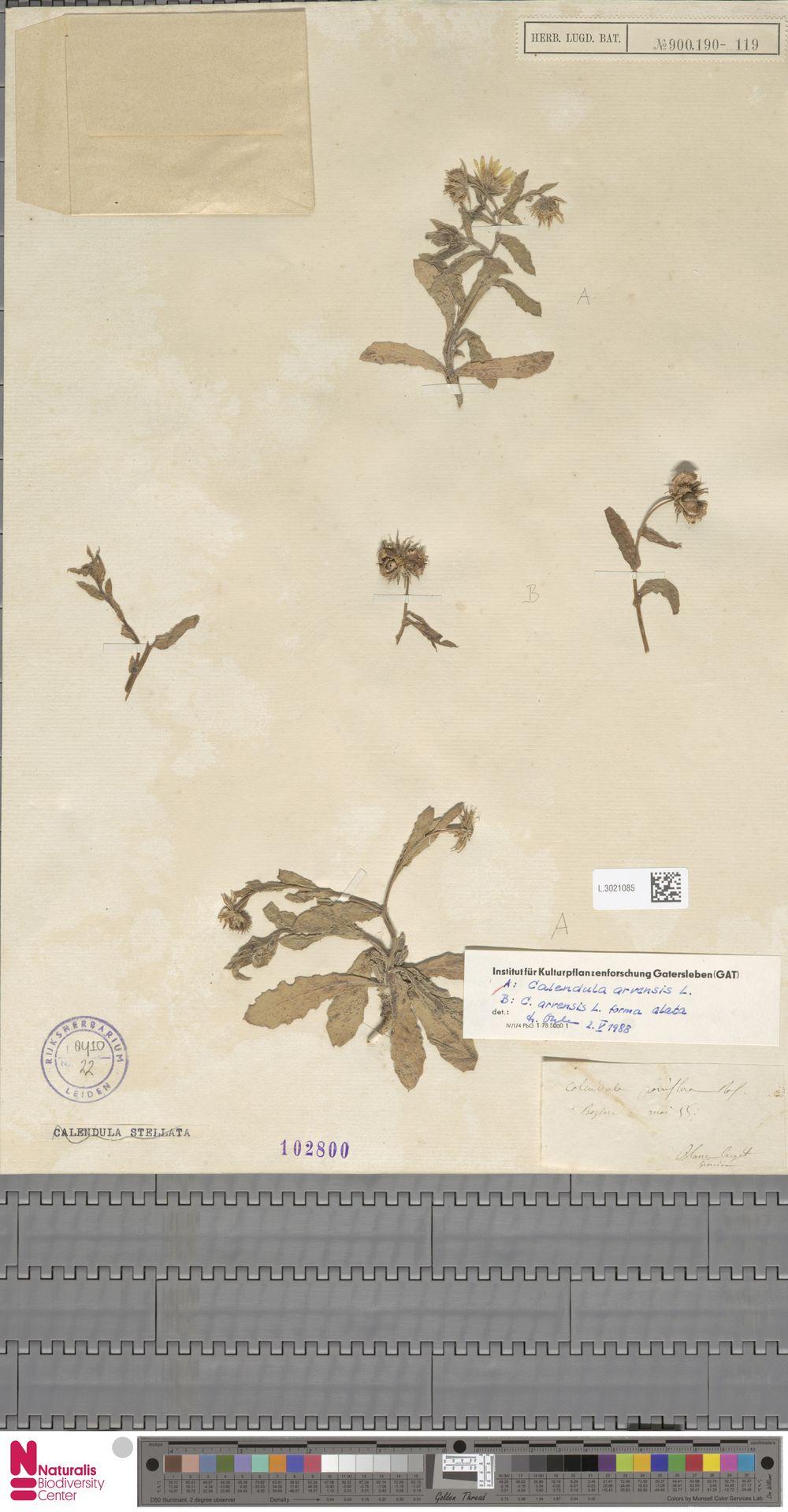 L.3021085 | Calendula arvensis (Vaill.) L.