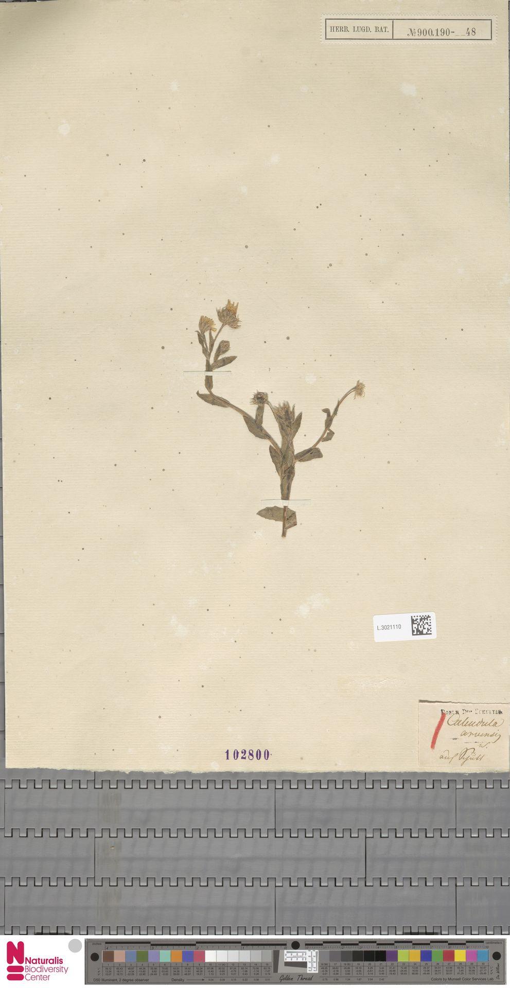 L.3021110 | Calendula arvensis (Vaill.) L.