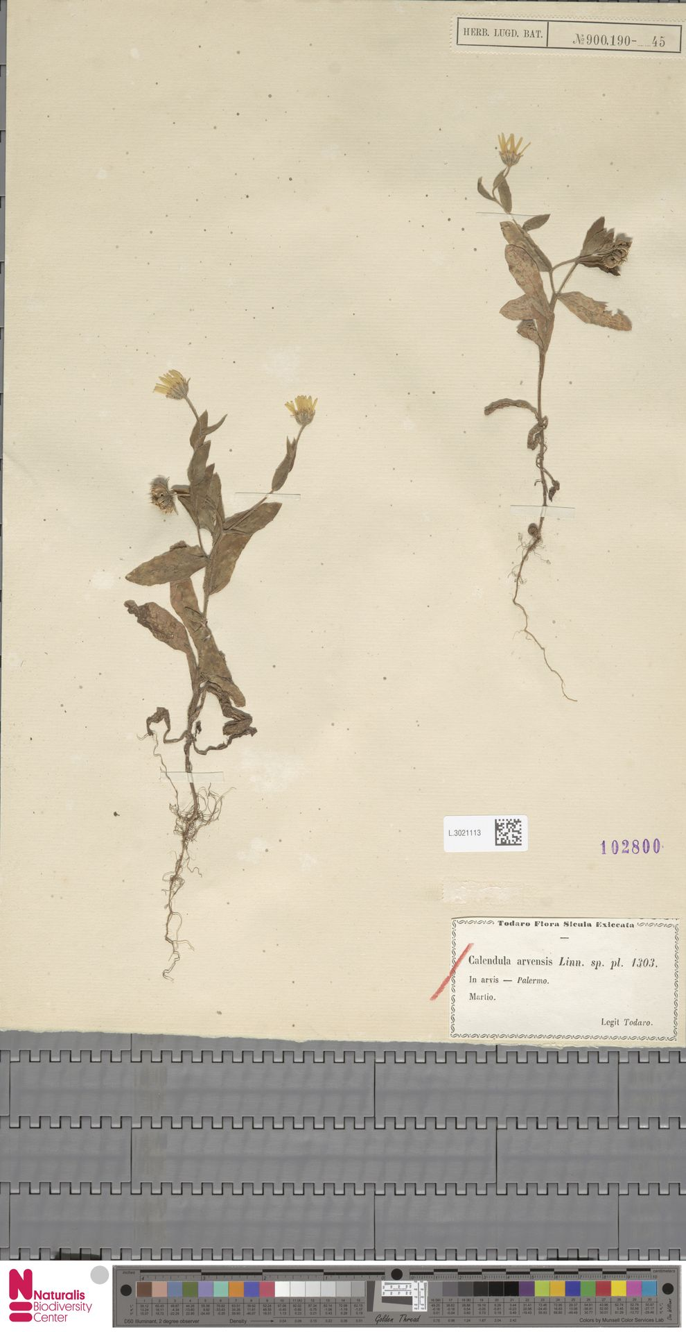L.3021113   Calendula arvensis (Vaill.) L.