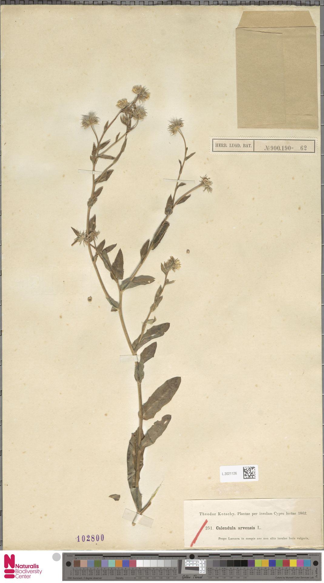 L.3021126 | Calendula arvensis (Vaill.) L.