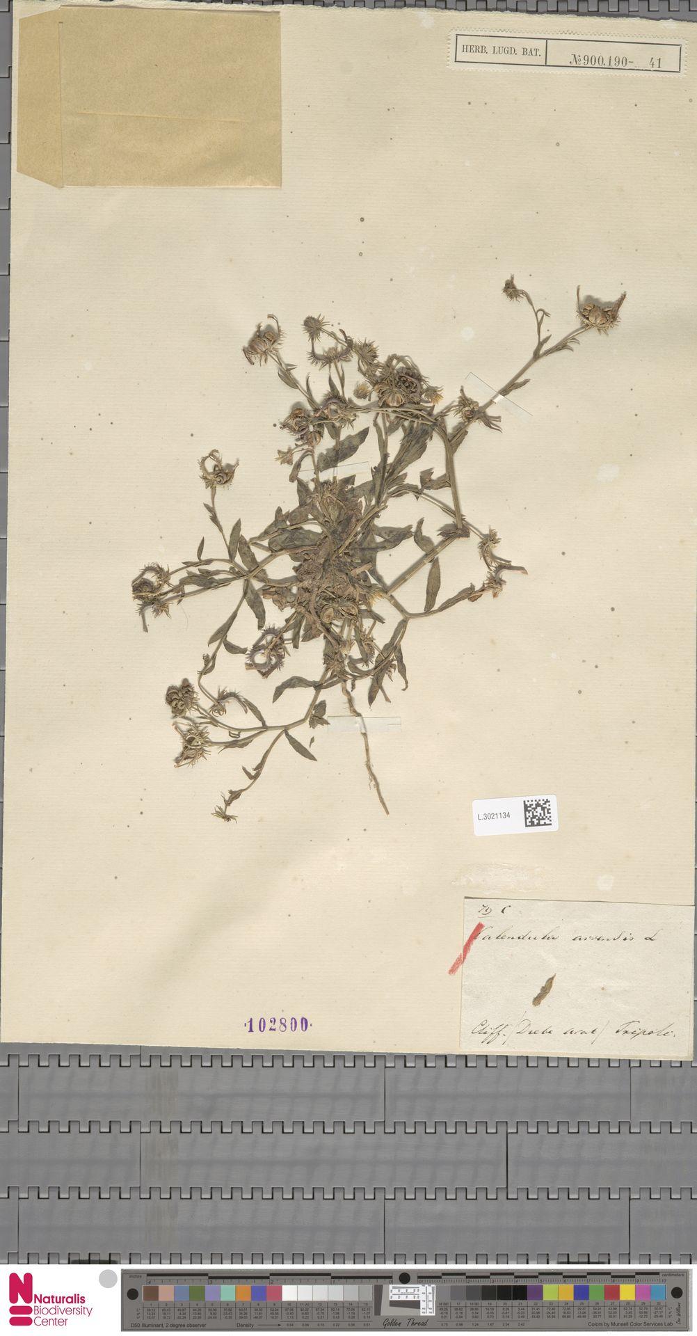 L.3021134 | Calendula arvensis (Vaill.) L.
