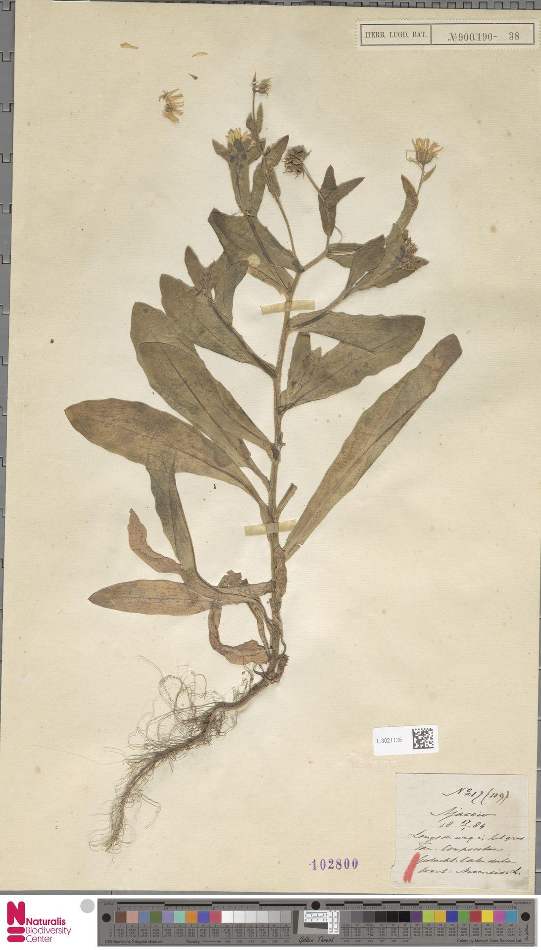 L.3021135 | Calendula arvensis (Vaill.) L.