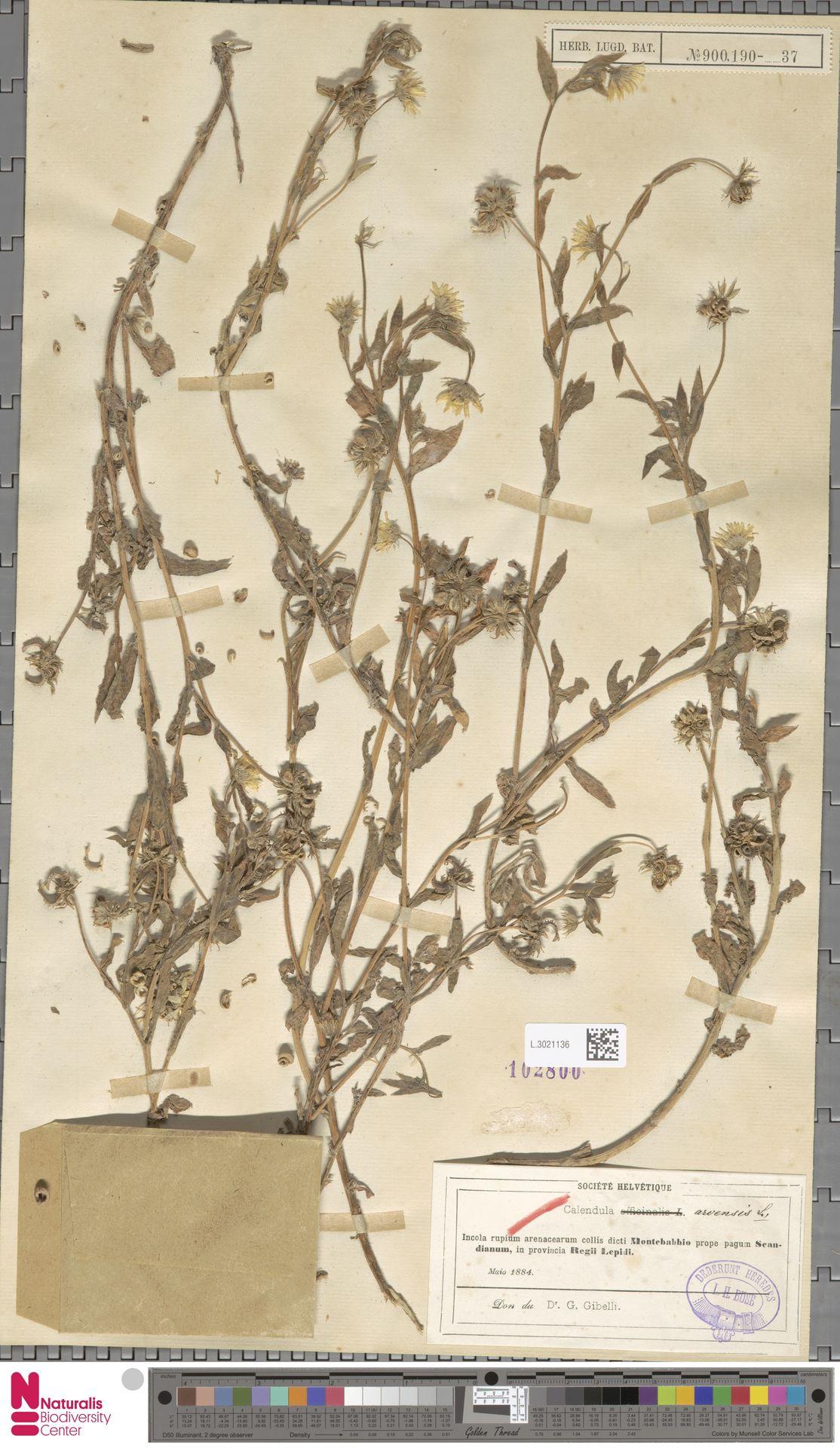 L.3021136 | Calendula arvensis (Vaill.) L.