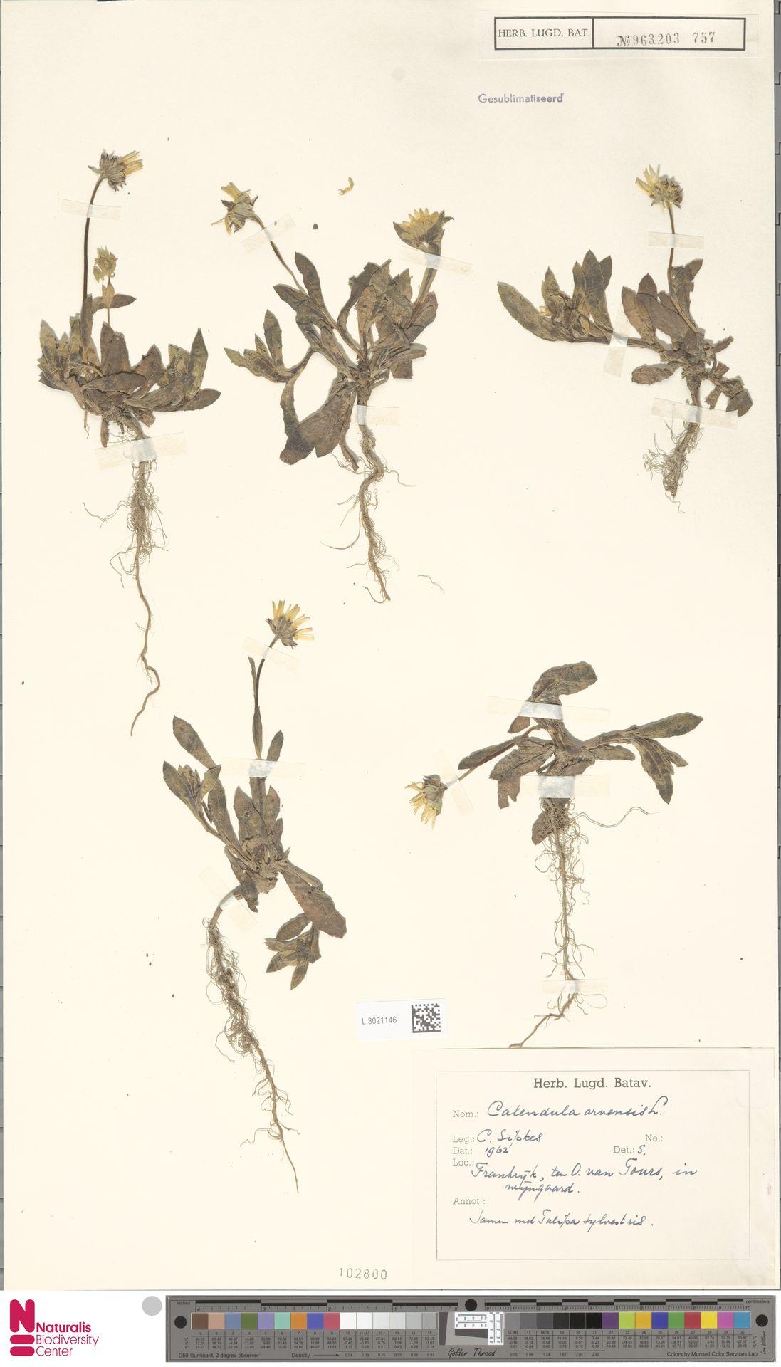L.3021146 | Calendula arvensis (Vaill.) L.