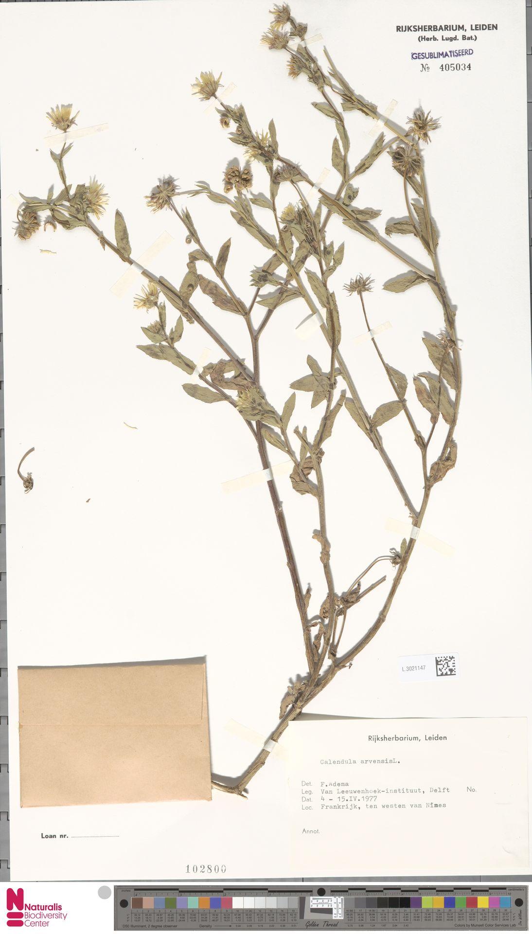 L.3021147 | Calendula arvensis (Vaill.) L.