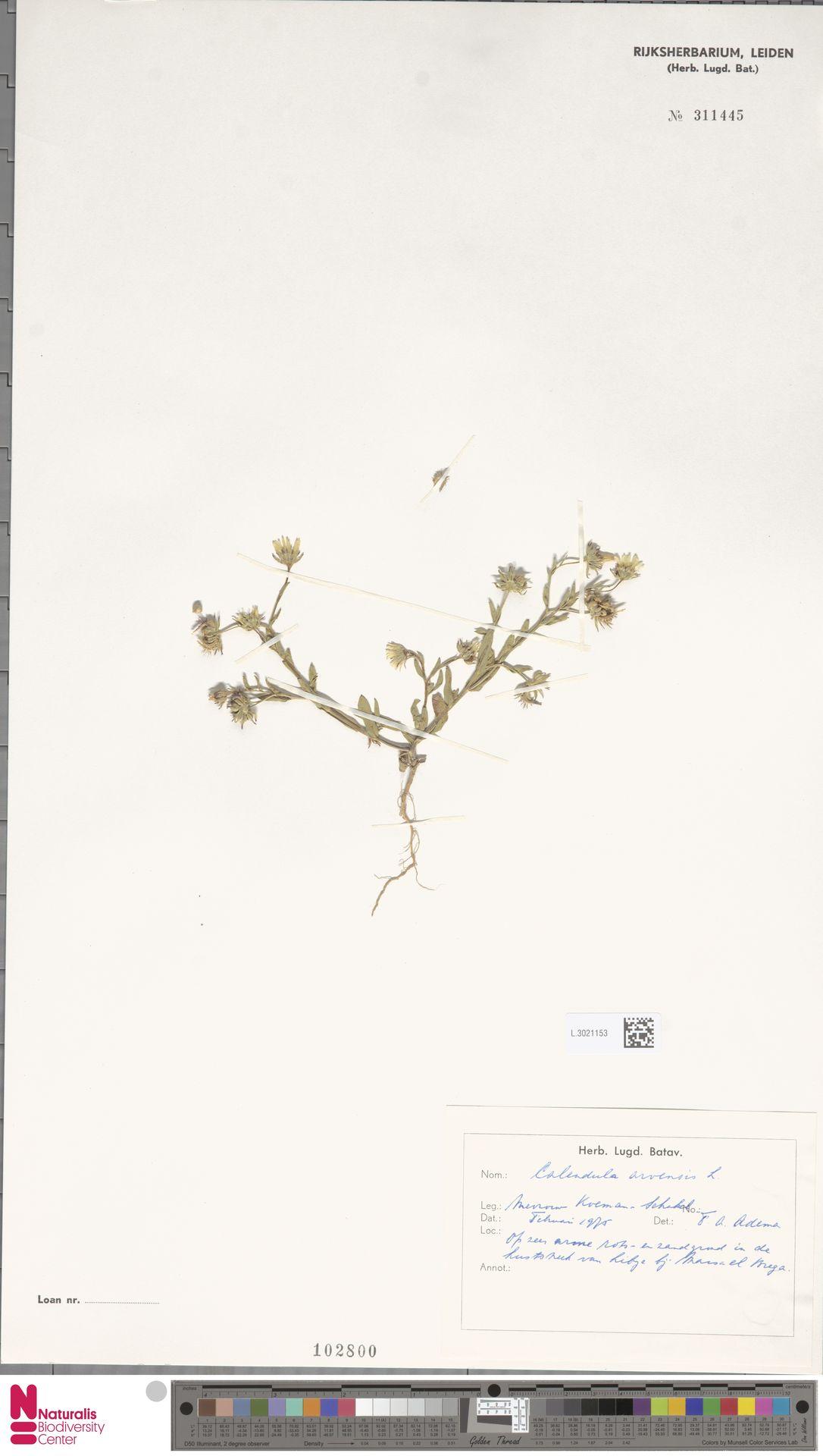 L.3021153   Calendula arvensis (Vaill.) L.