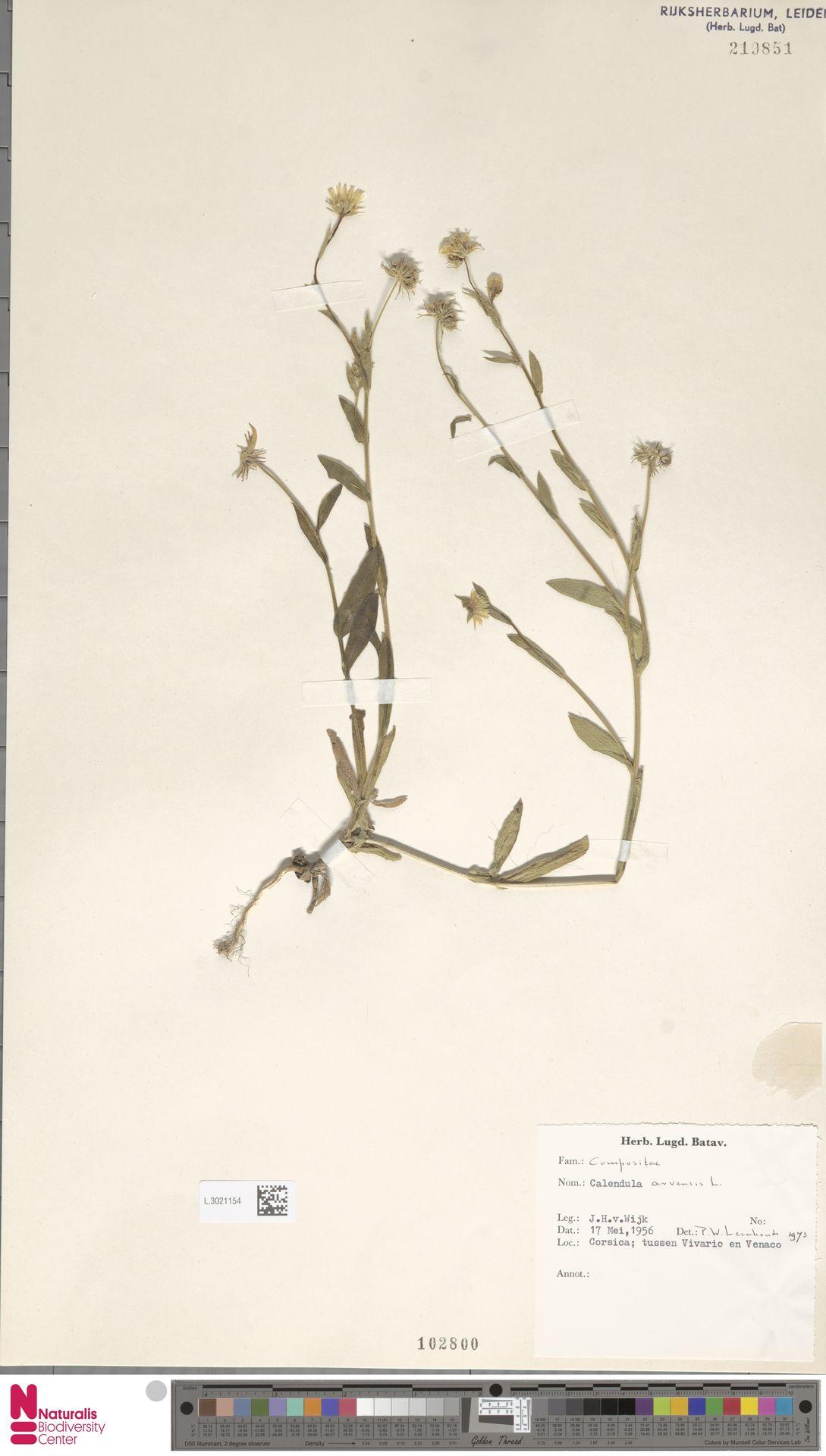 L.3021154 | Calendula arvensis (Vaill.) L.