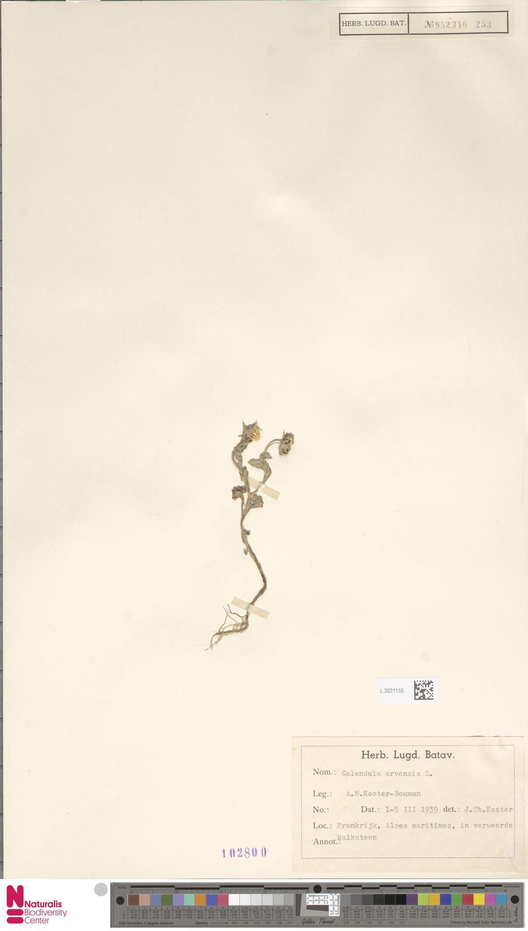 L.3021155 | Calendula arvensis (Vaill.) L.