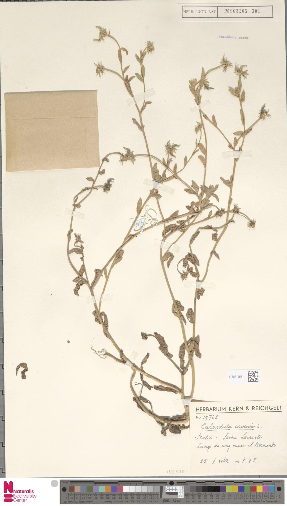 L.3021157 | Calendula arvensis (Vaill.) L.